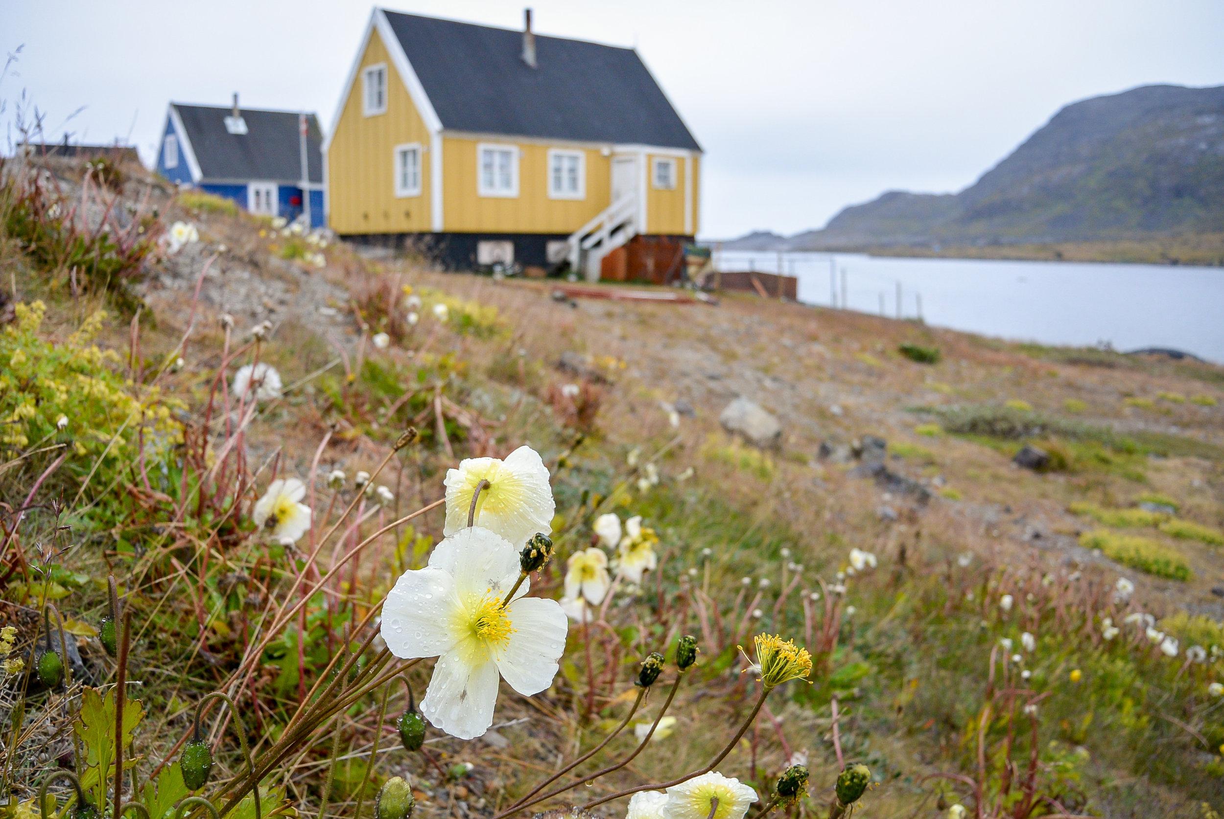 Wildflowers blooming in Nanortalik