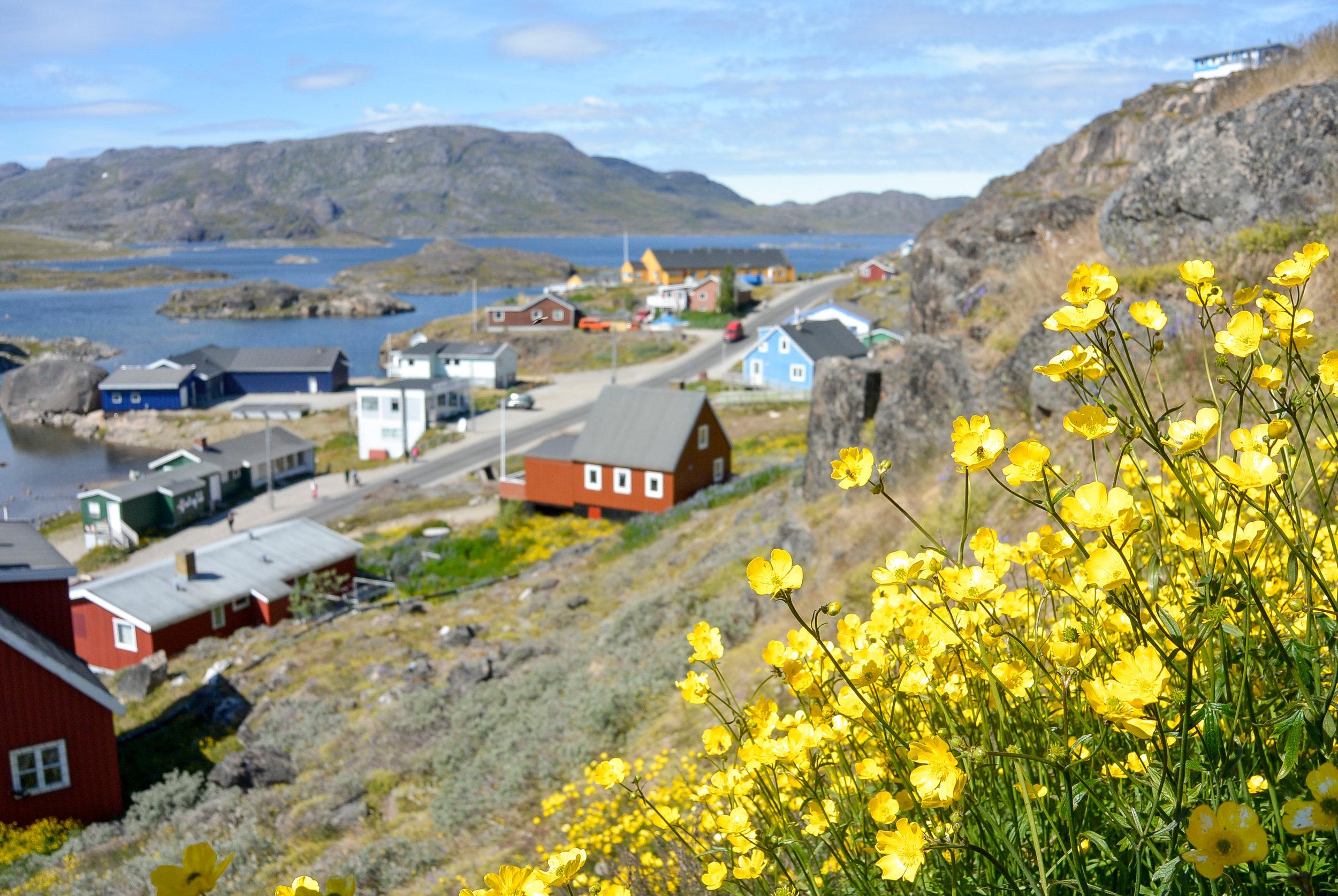 Buttercups blooming on a hill in Qaqortoq