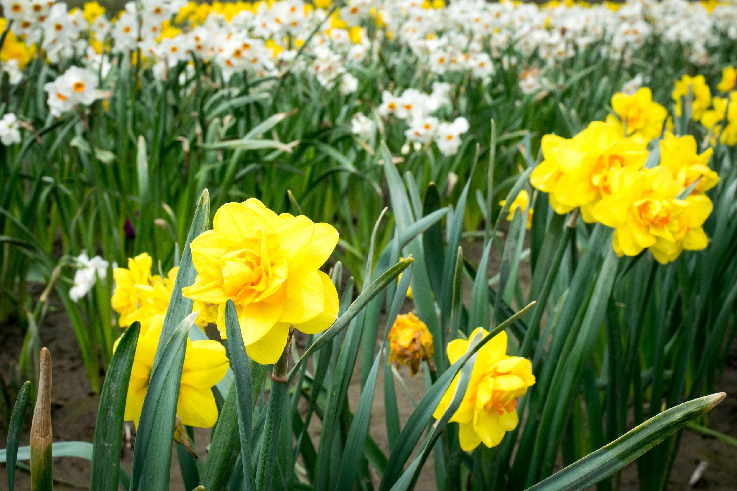 Daffodils at the Chilliwack Tulip Festival