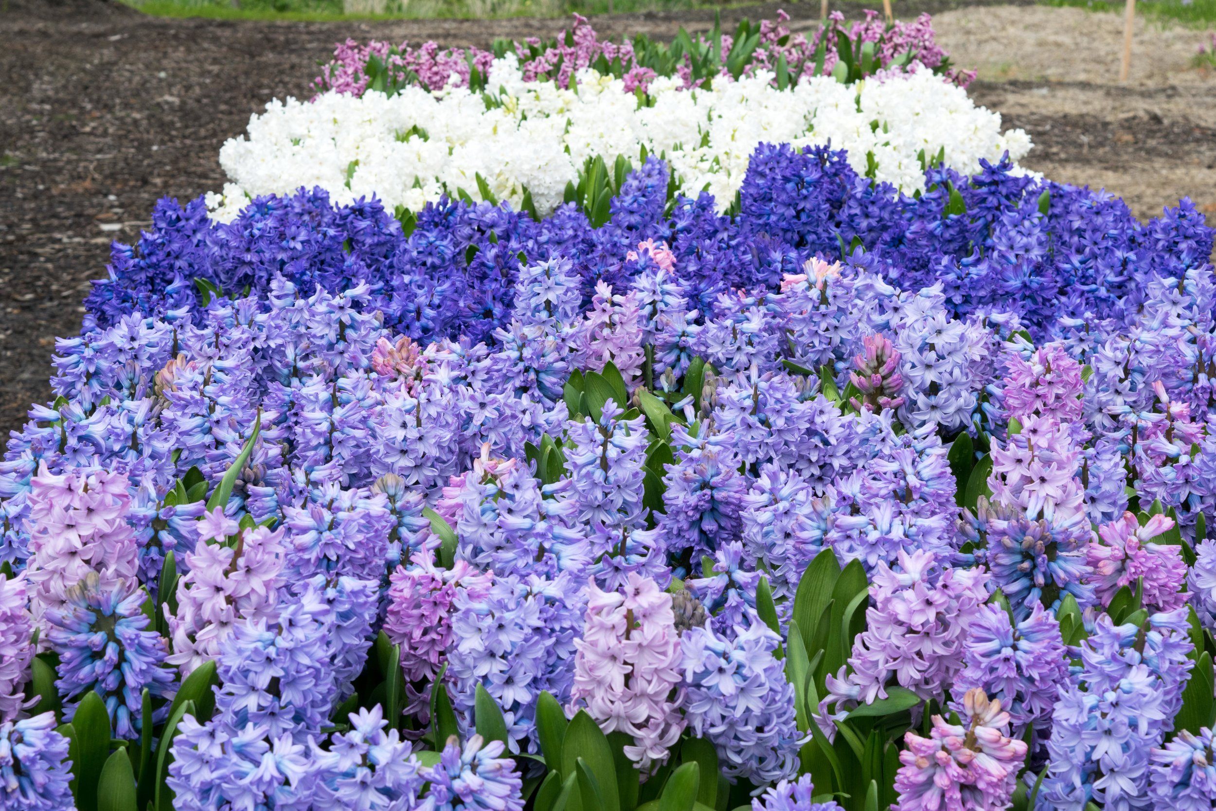 Hyacinths at the Chilliwack Tulip Festival