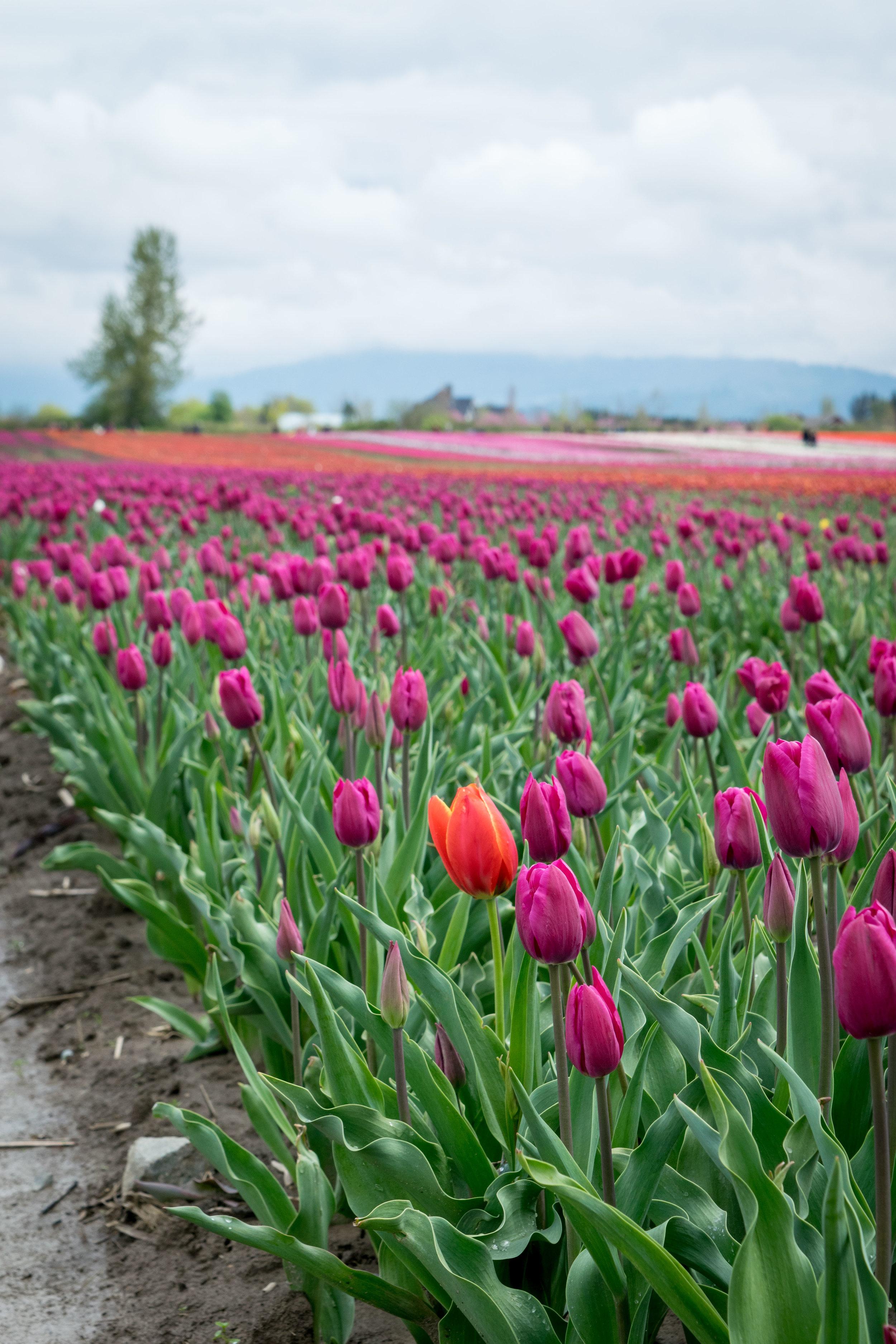 Chilliwack Tulip Festival