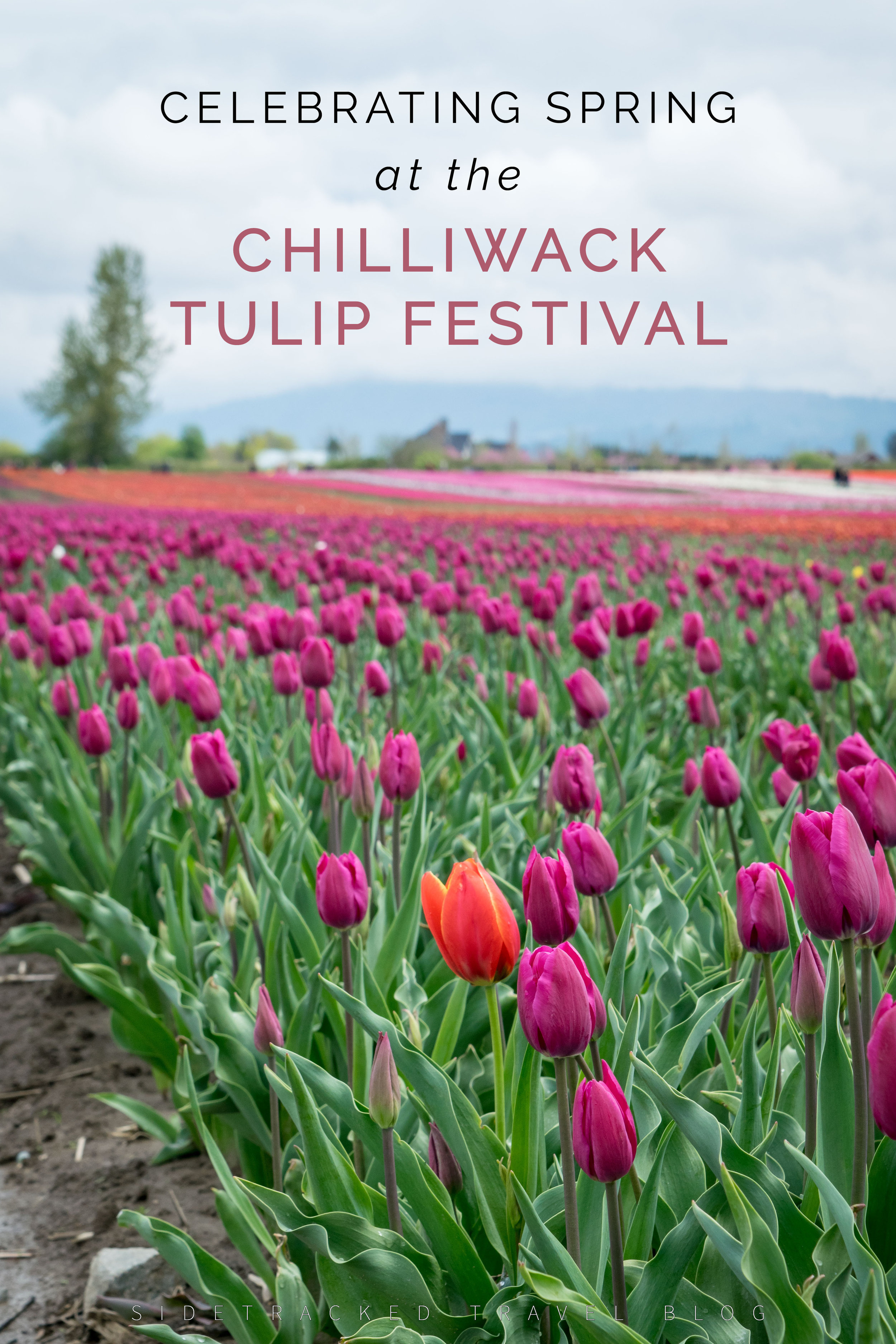 Rows upon rows of tulips in majestic magenta, bright white, hot pink, cheery yellow, and so many more colors can be found blooming each April at the Chilliwack Tulip Festival, located only an hour's drive outside of Vancouver. Wandering among the many rows of tulips makes for a lovely spring outing for the whole family to enjoy!