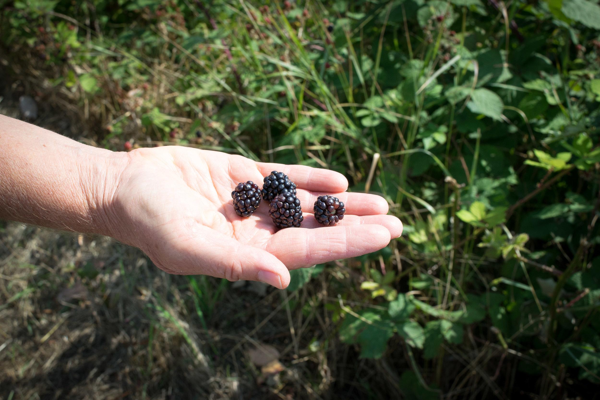 Picking wild blackberries in Nanaimo