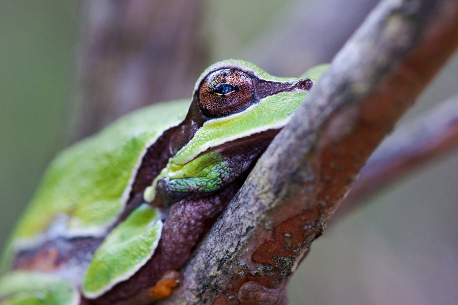 PB Tree Frog 1.jpg