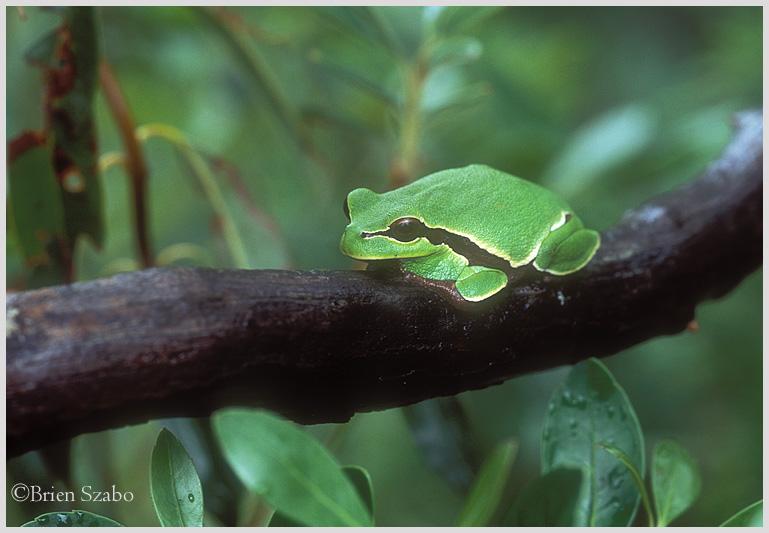 PB Tree Frog ms 1b.jpg