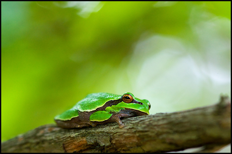 Pine barren Tree Frog.jpg