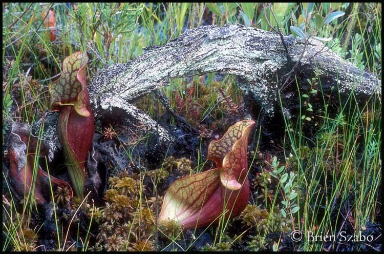 Pitcher Plant Scene 1.jpg