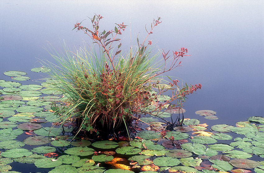 Plants and Lily Pads.jpg