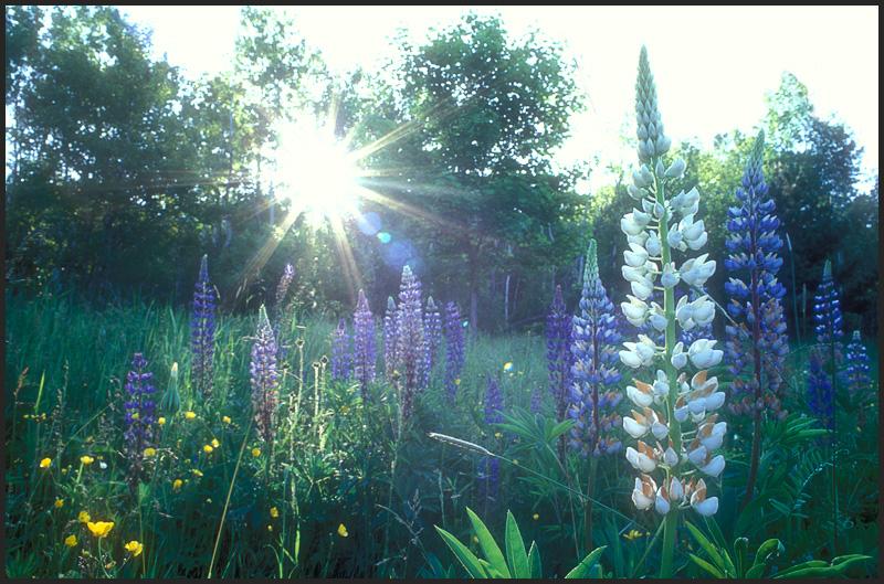 Lupine and sunburst.jpg