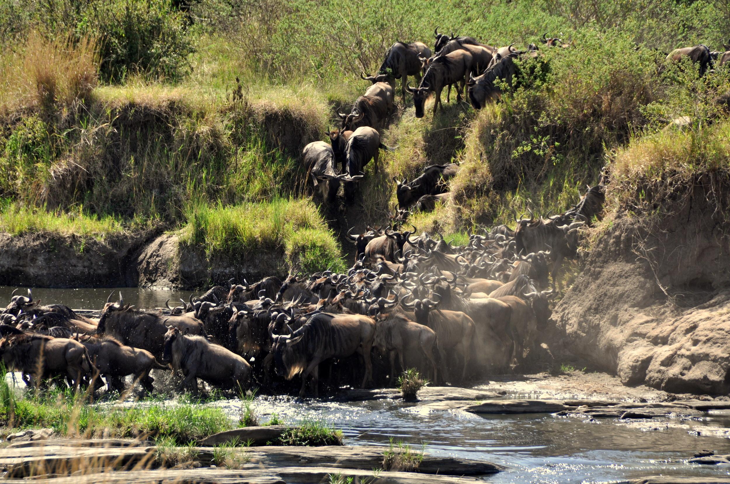 Wildebeest Migration from Serengeti, Tanzania to Maasai Mara, Kenya, Africa