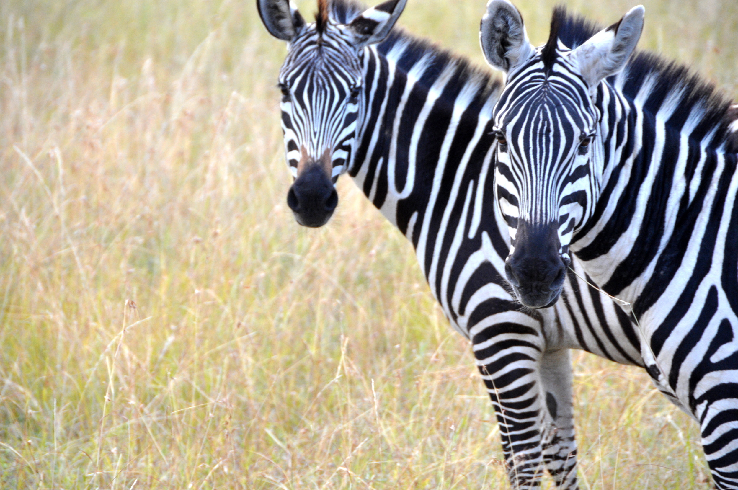 Zebras at Maasai Mara, Kenya, Africa