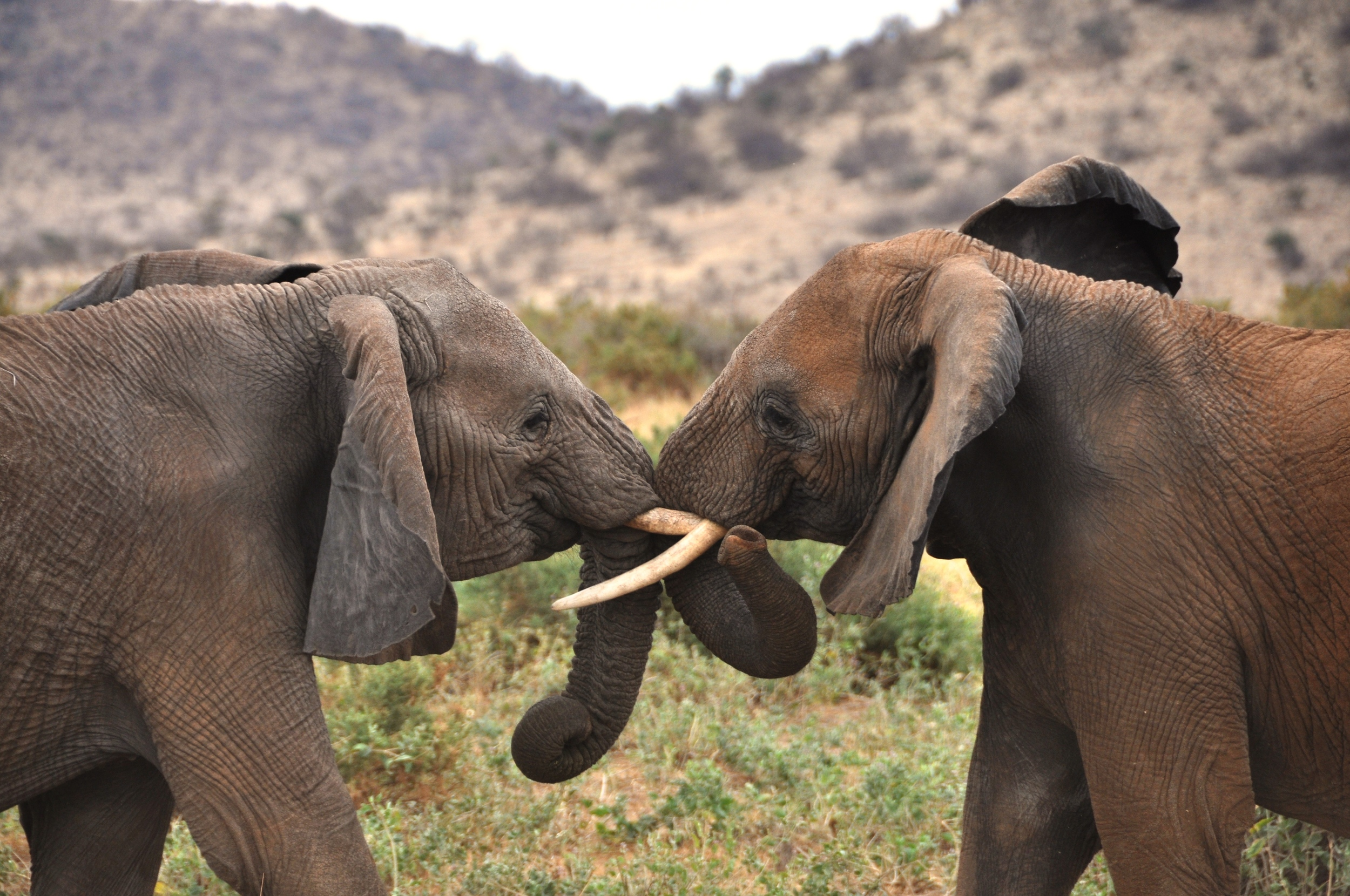 Big Five - Elephant, Maasai Mara, Kenya