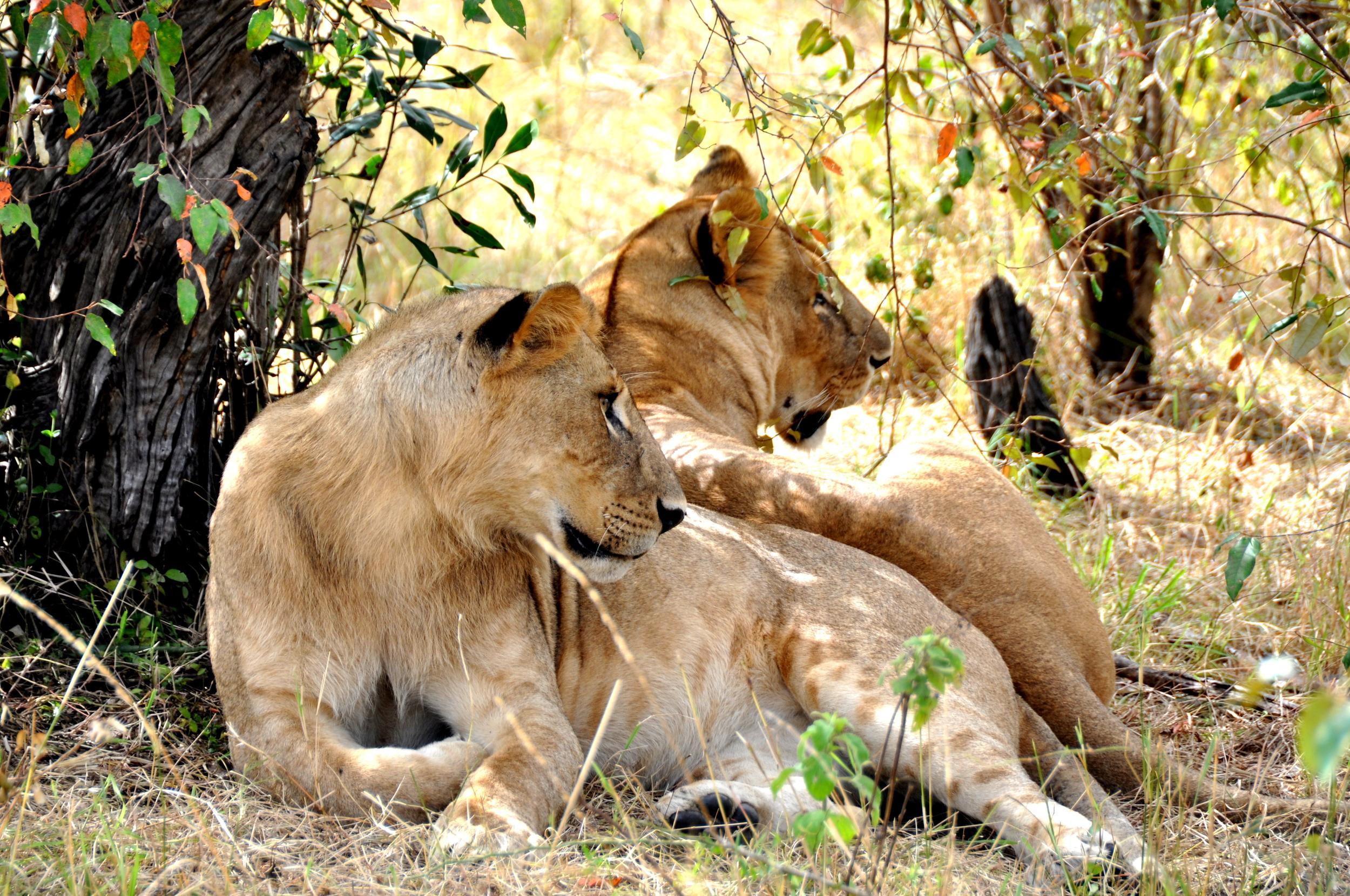Lions Twins Mirror Image Kenya Maasai Mara Africa