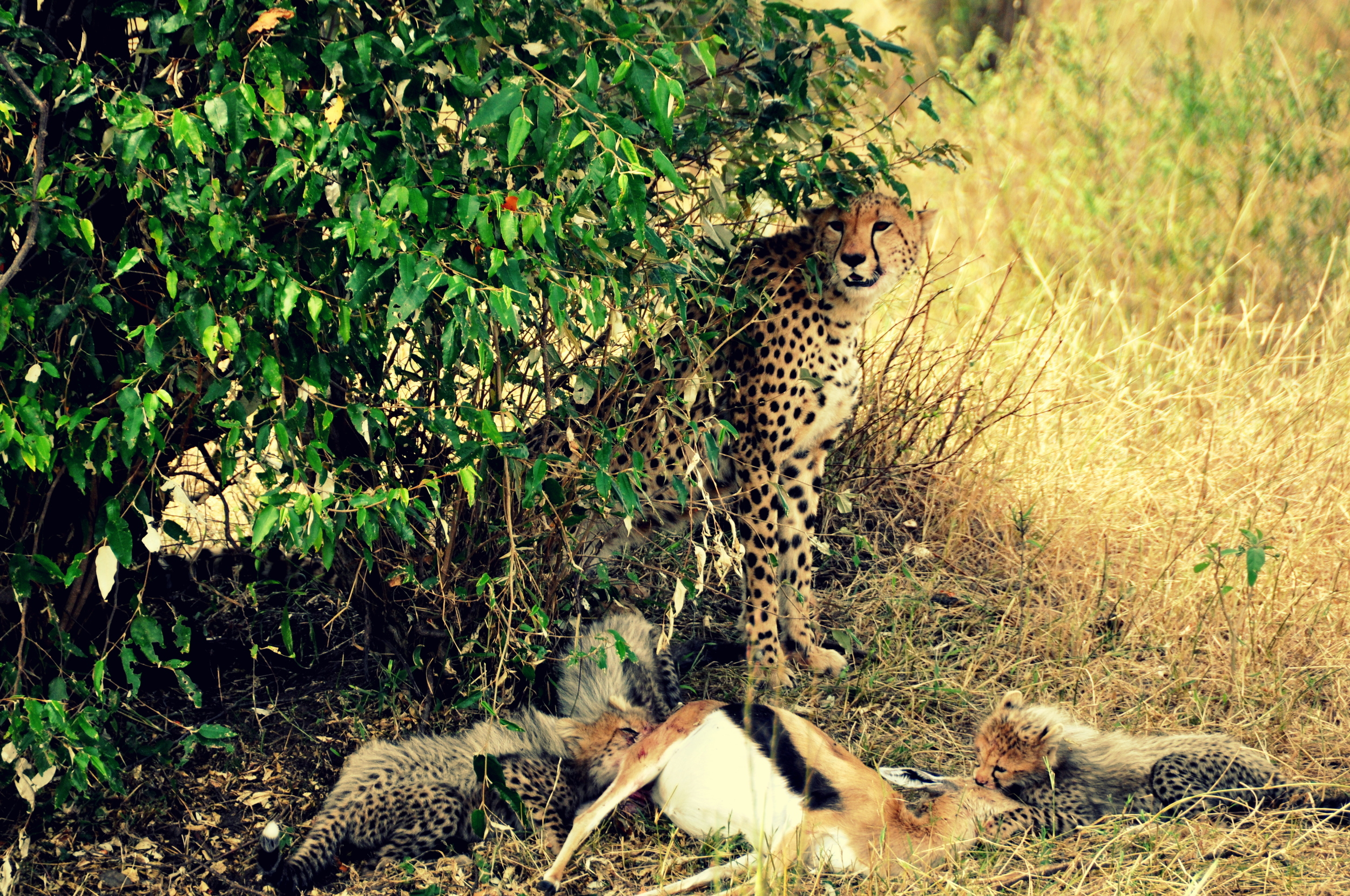 Cheetah, thomson Gazelle, cubs in Maasai Mara, Kenya, Africa