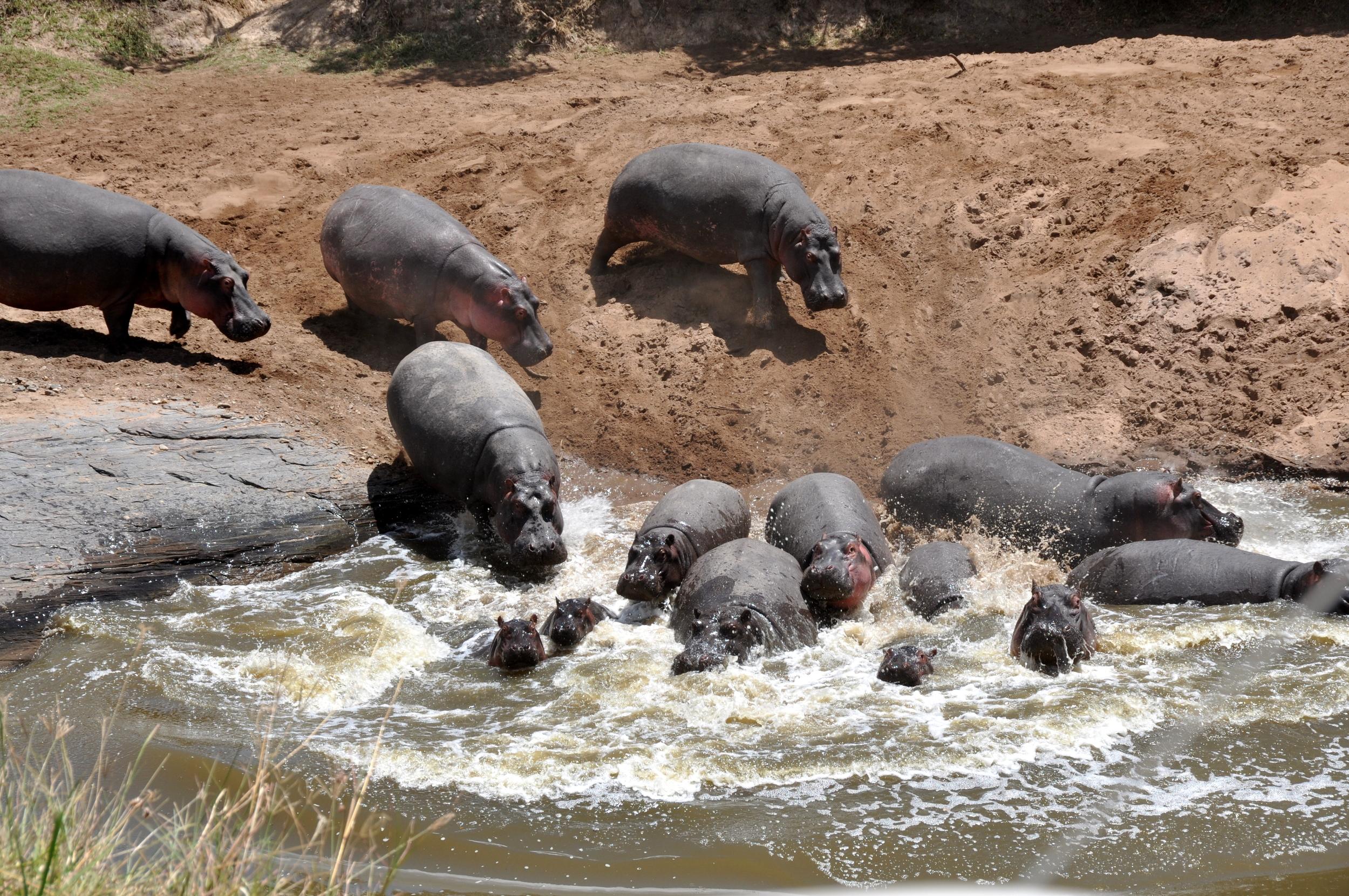 Hippopotamus, Hippos in Maasai Mara, Kenya