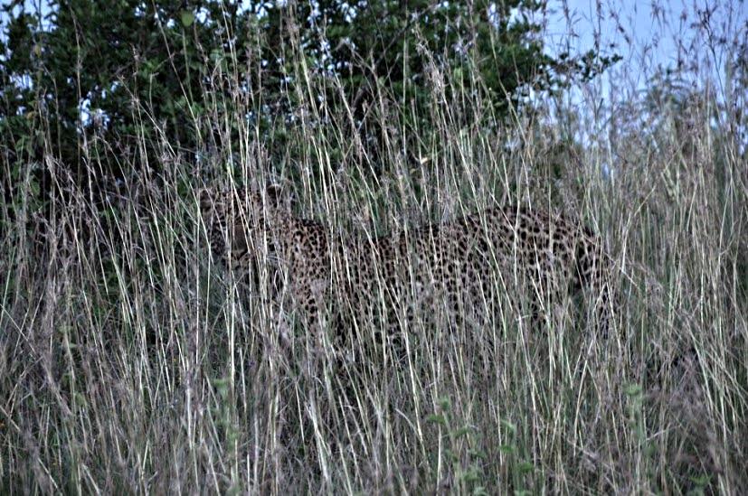 Big Five, Leopard, Sleeping Warrior Camp, Elmenteita, Kenya, Africa