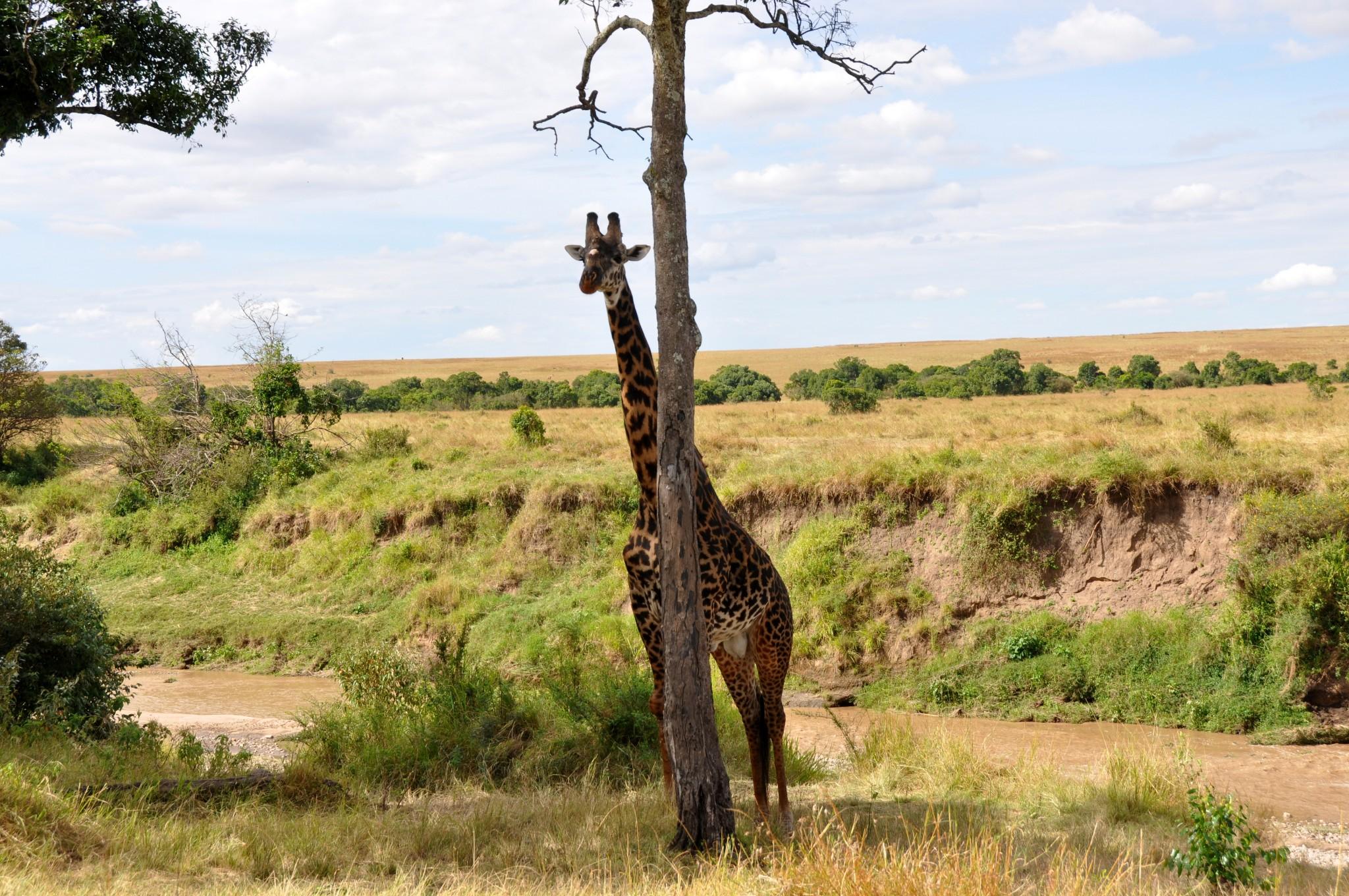 GIraffe at Maasai Mara National Park