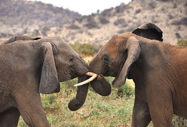 A little trunk hug action for #worldelephantday .7 years since our trip to Kenya, but still one of our top travel experiences . And will be all-time. Beautiful, majestic creatures. sadly, so many  poached for illegal ivory trade. Mistreated for rides. Widely threatened. #savetheelephants