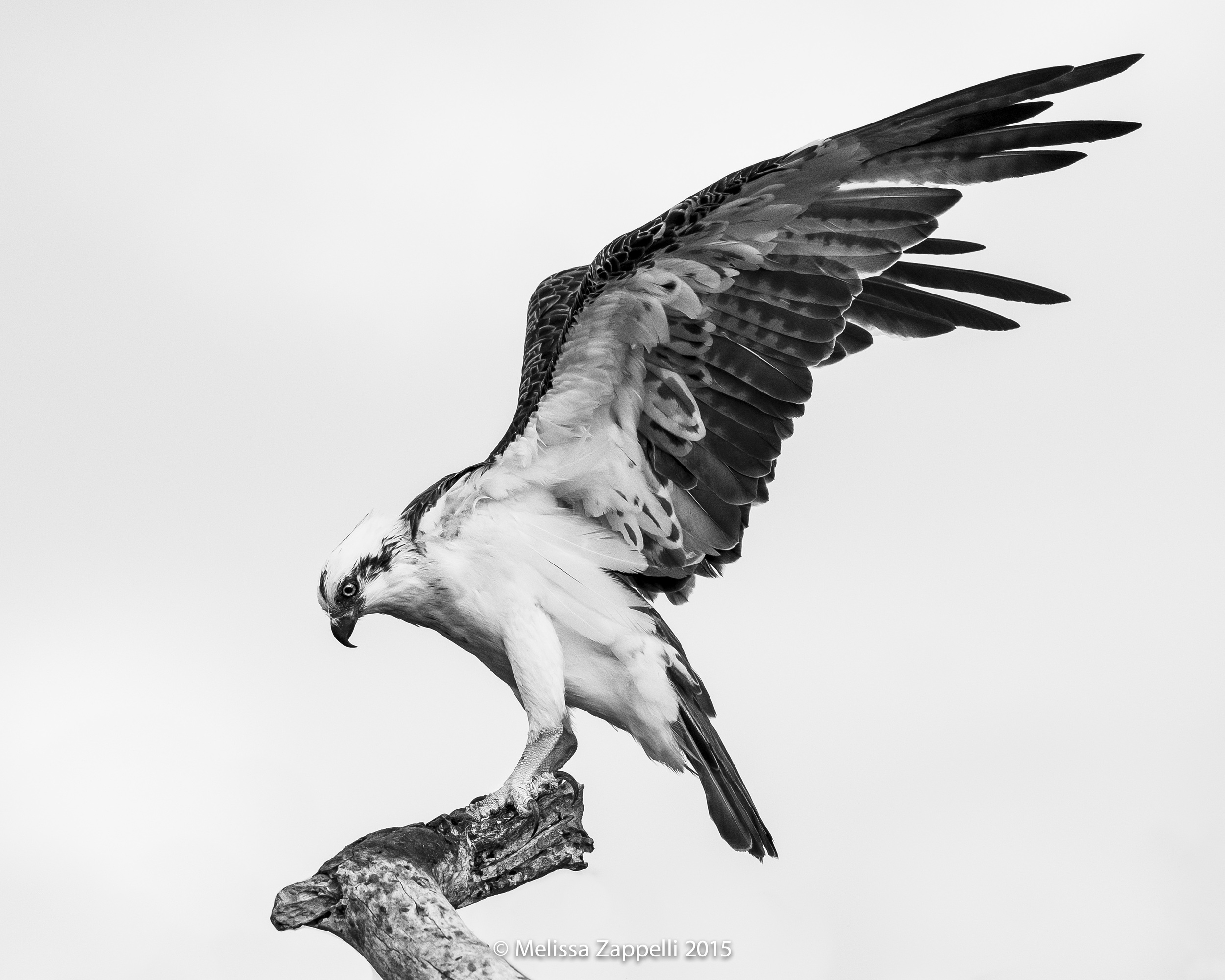 The Resident Male Osprey