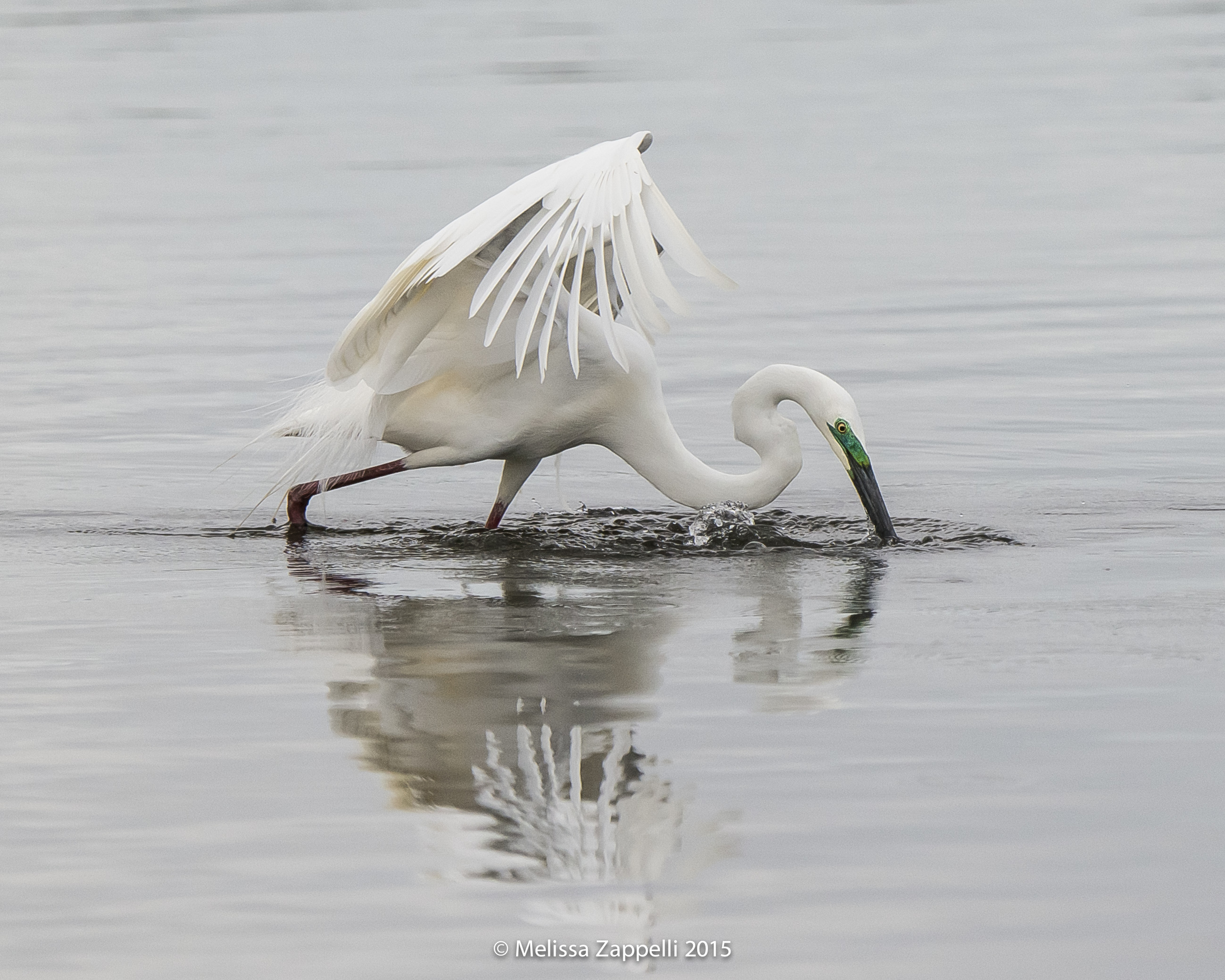 Great Egret - Breeding Colours