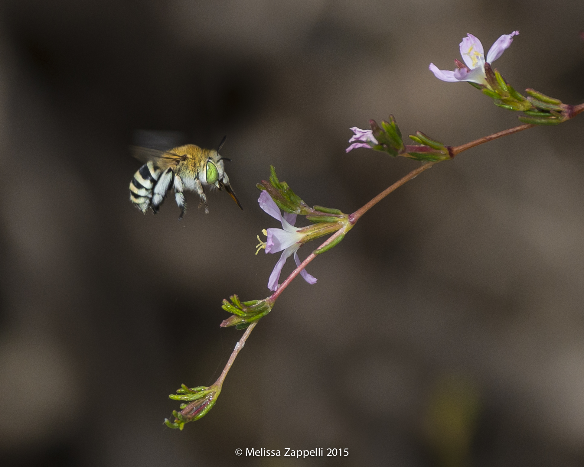 Blue Banded Native Bee