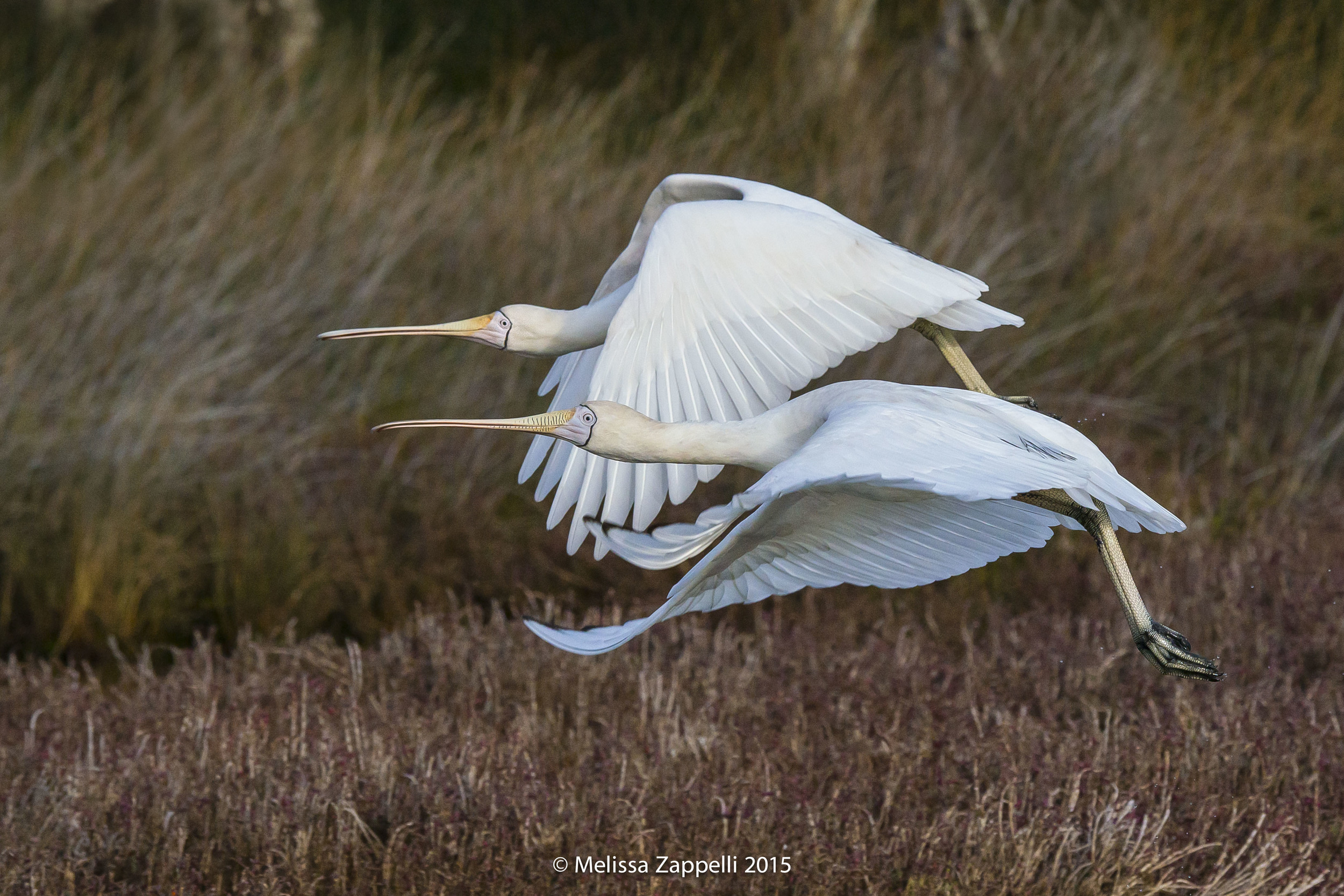A Pair of Yellow Billed Spoonbills Together in Flight