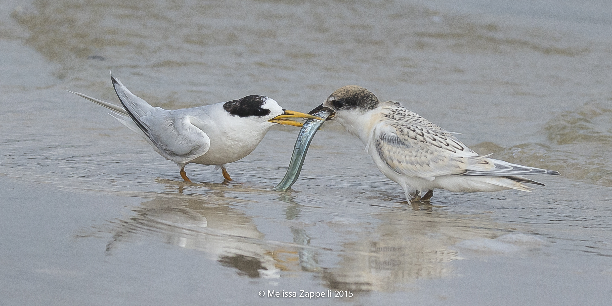 Fairy Tern - Adult & Juvenile