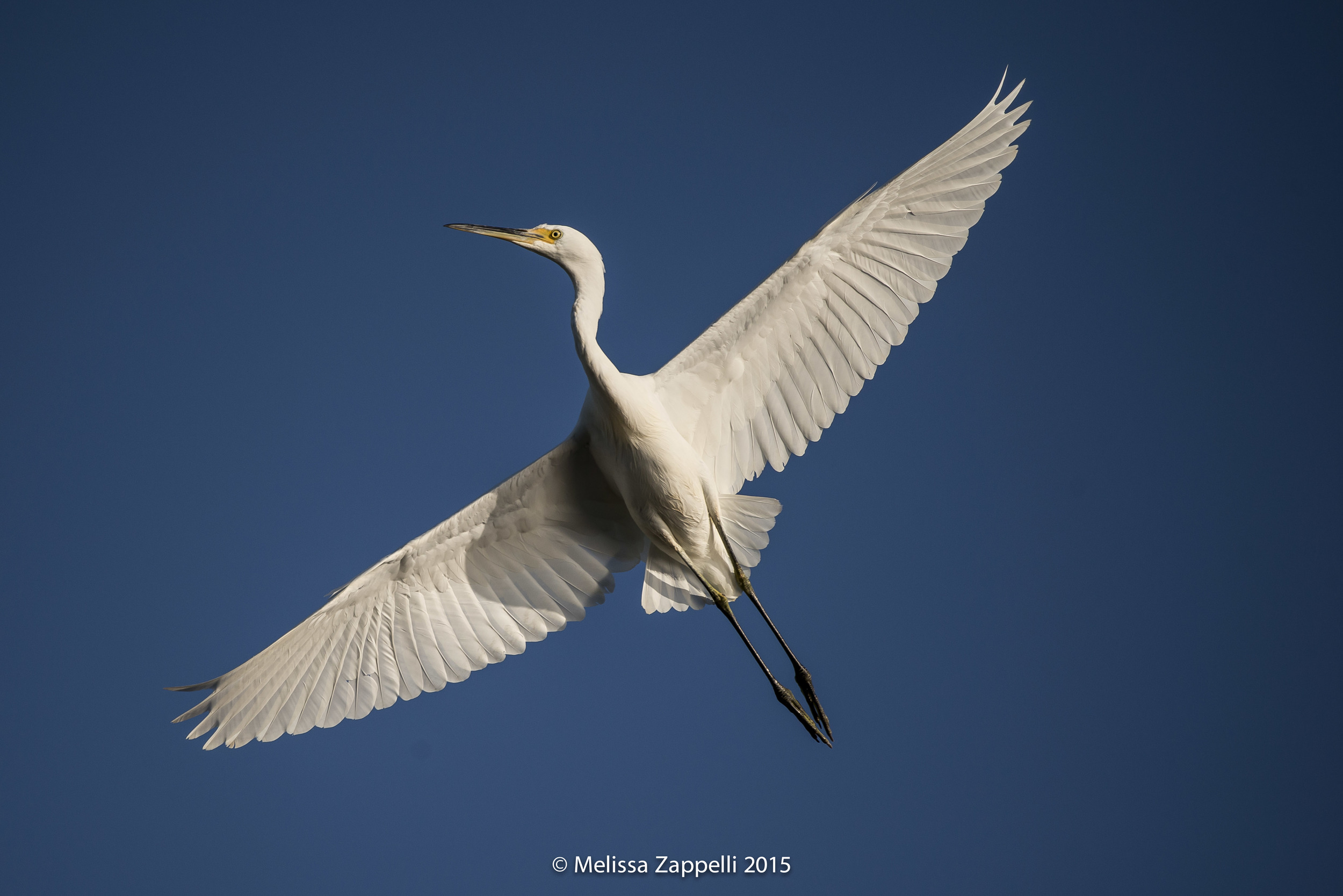Great Egret in bright sunlight - Camera settings; ISO 320, 400mm, f10, 1/3200