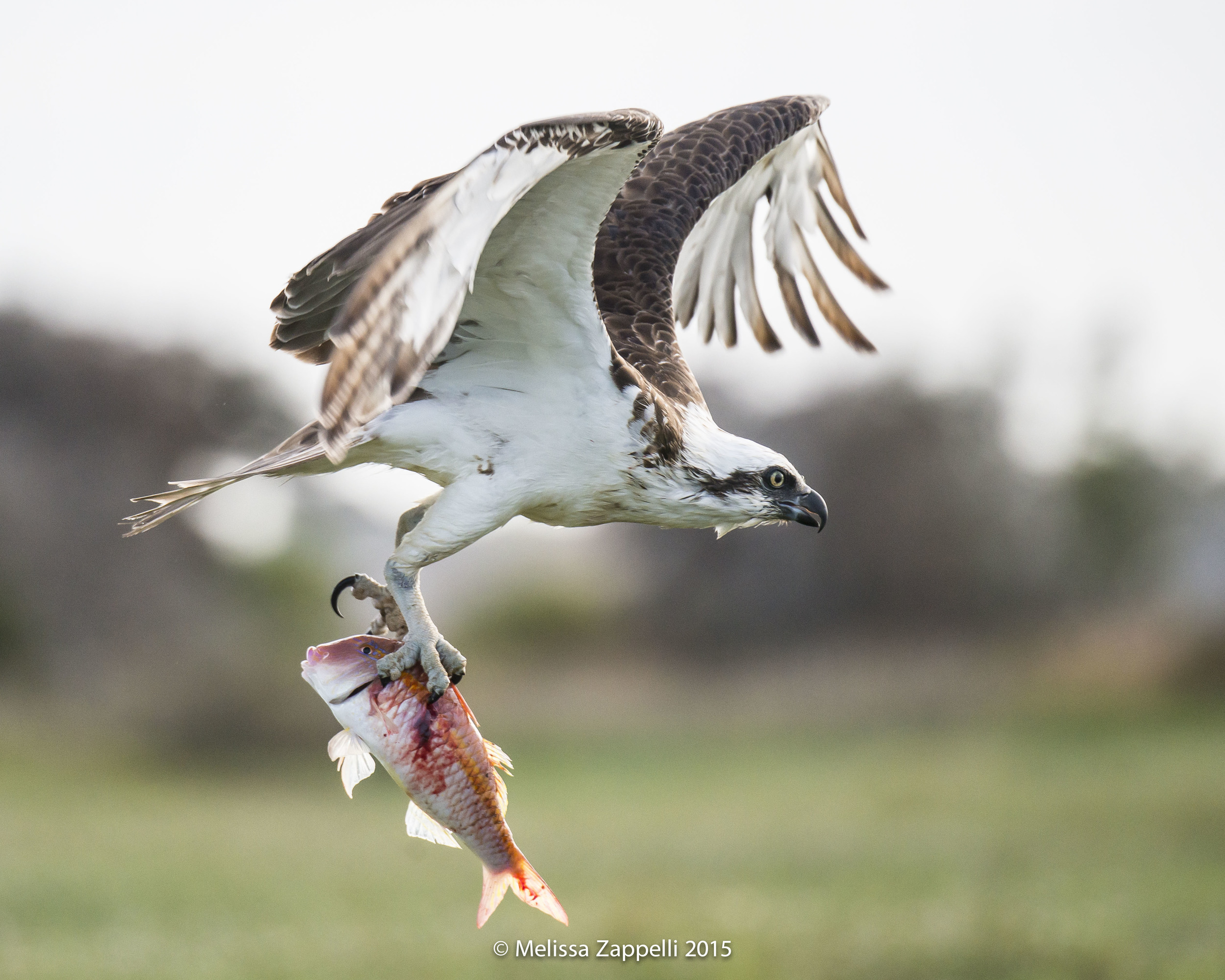 Osprey with a Goatfish