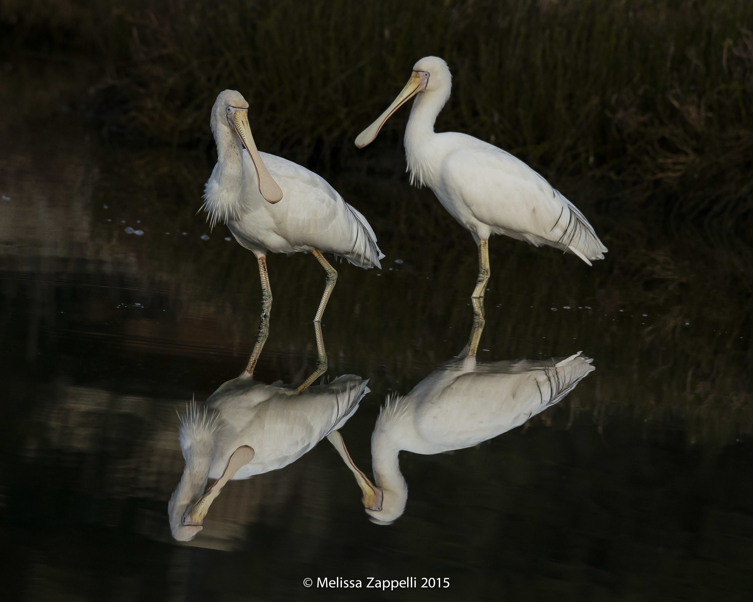 Spoonbills Against a Very Dark Background Settings ISO 1000, 400mm, f8, 1/3200