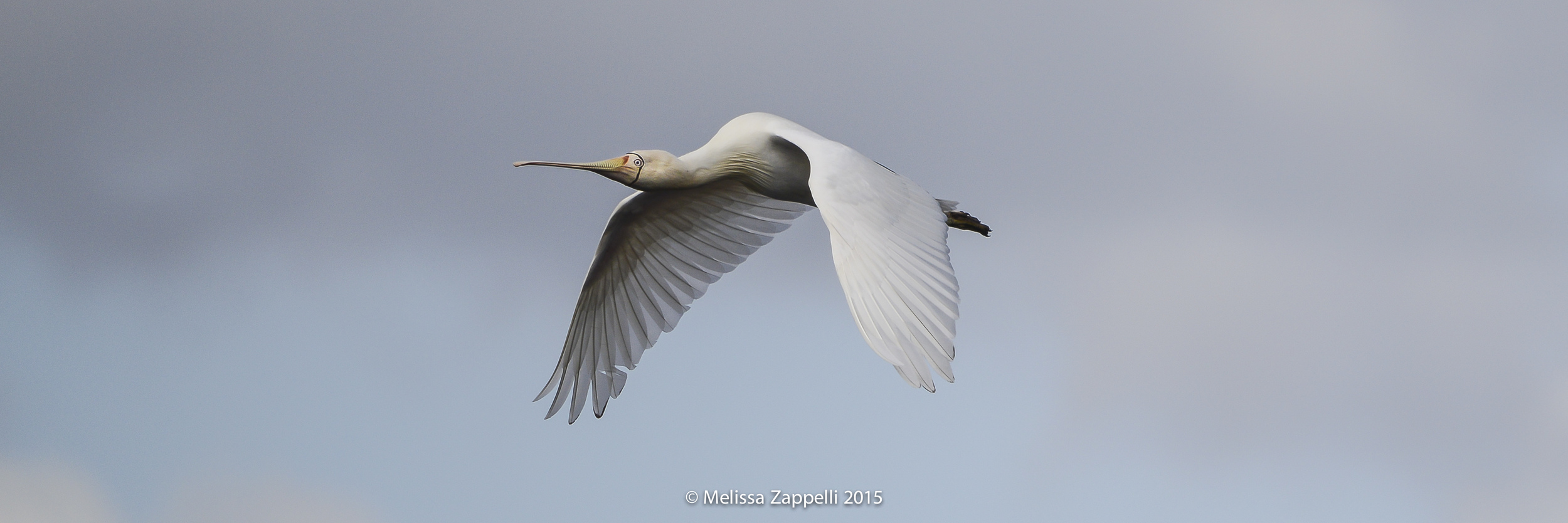 The beautiful Yellow Billed Spoonbill which started my obsession with bird photography. This ismy very first flight image captured unexpectedly at North Lake on the 19th of August 2014.