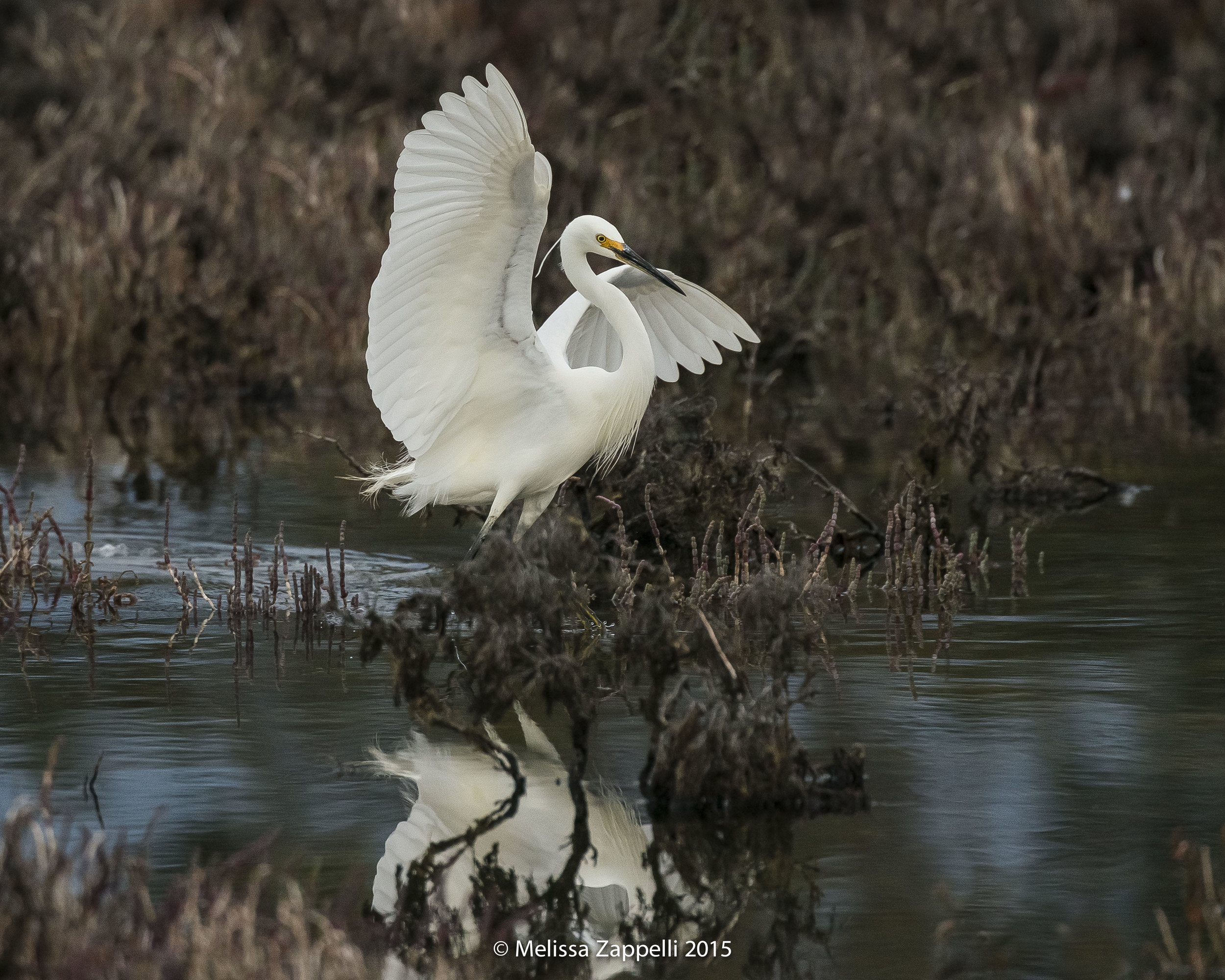 One of my best swamp dwelling friends, A stunning Little Egret at Alfred Cove. I love the contrast between the pure white bird and the dark murky swamp.