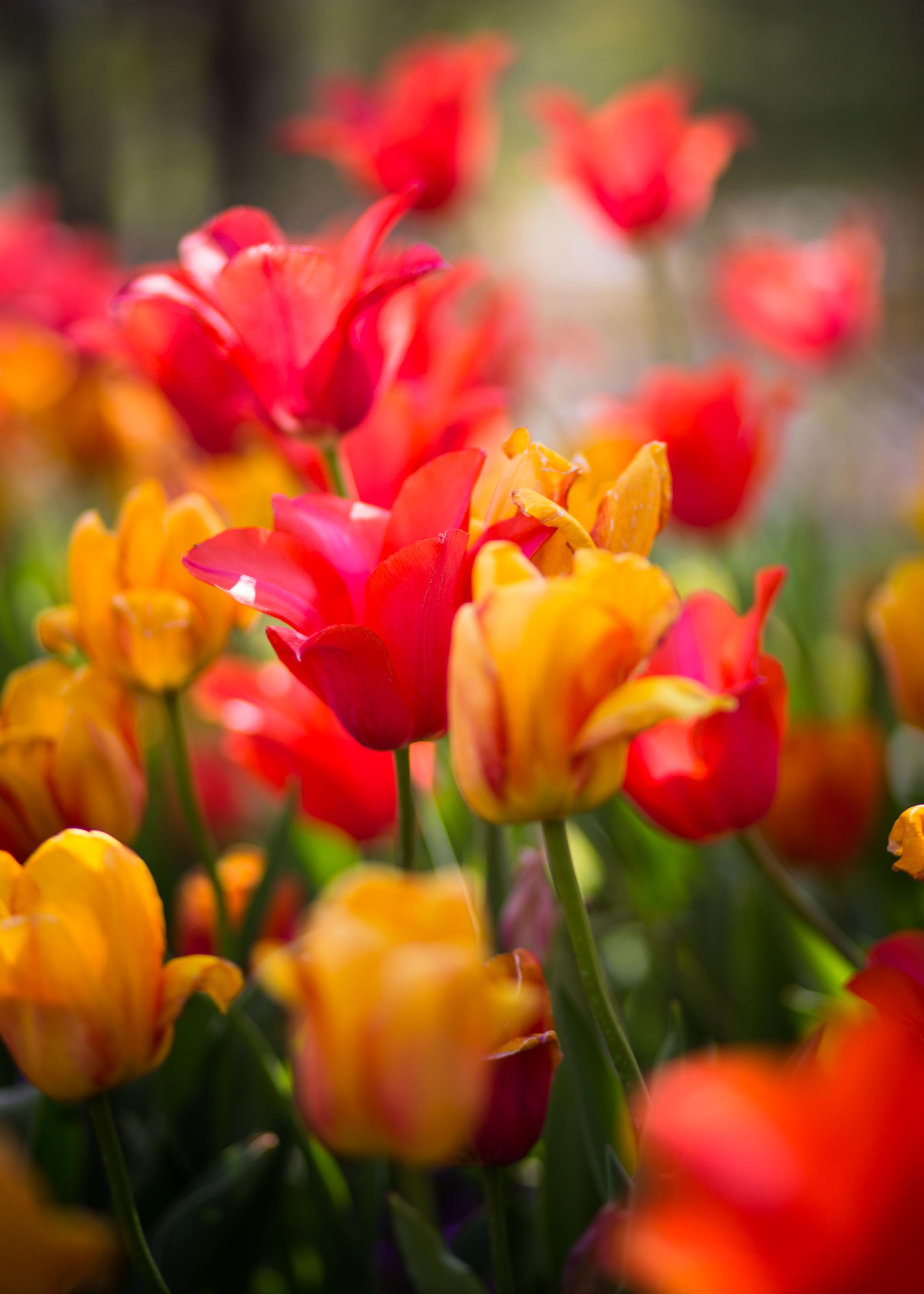 Tulips Lehi Utah