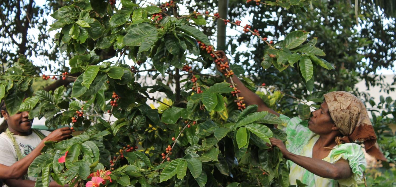 2014 coffee harvest / Tanna Island / Vanuatu