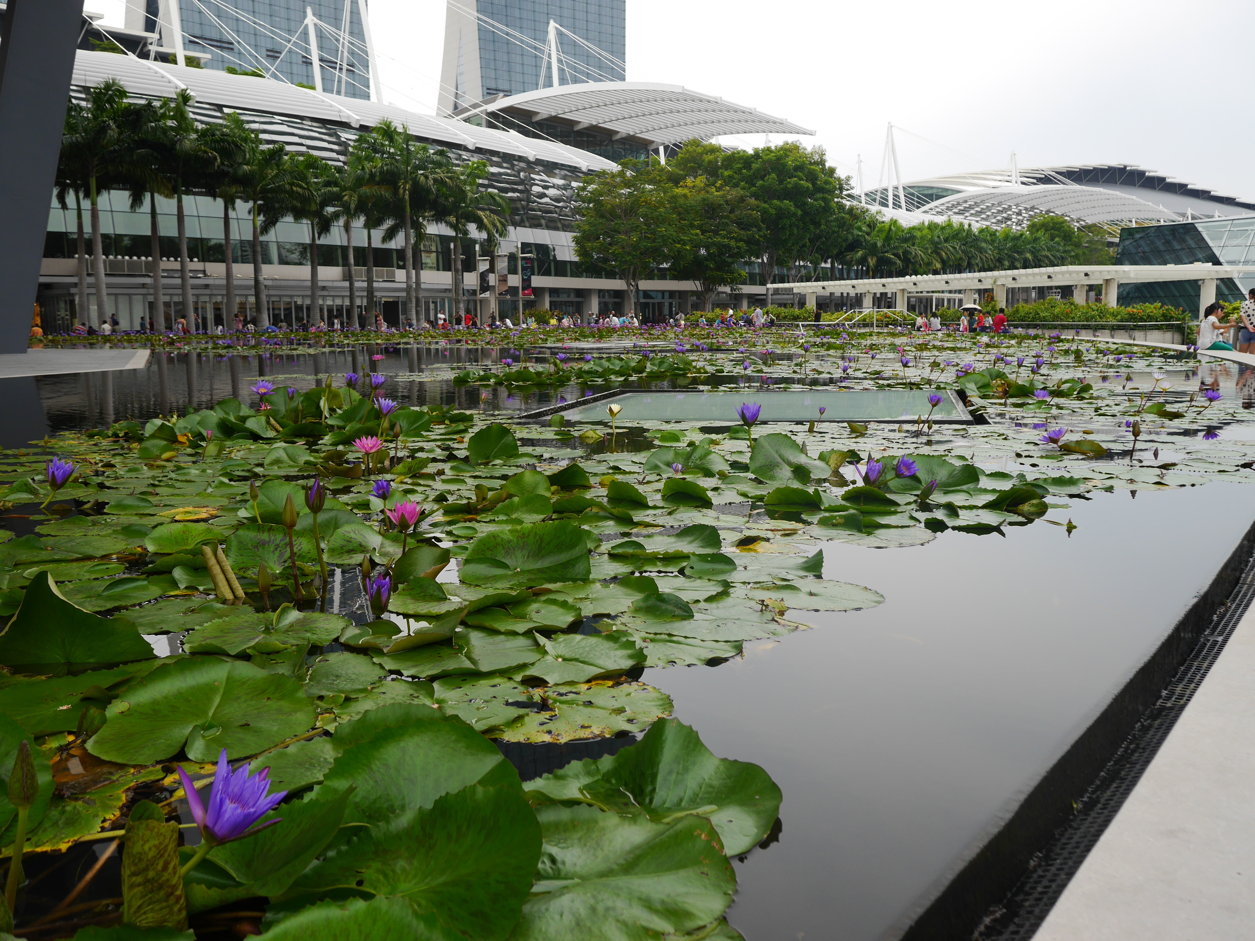 Flowering lily pads just outside the ArtScience museum.