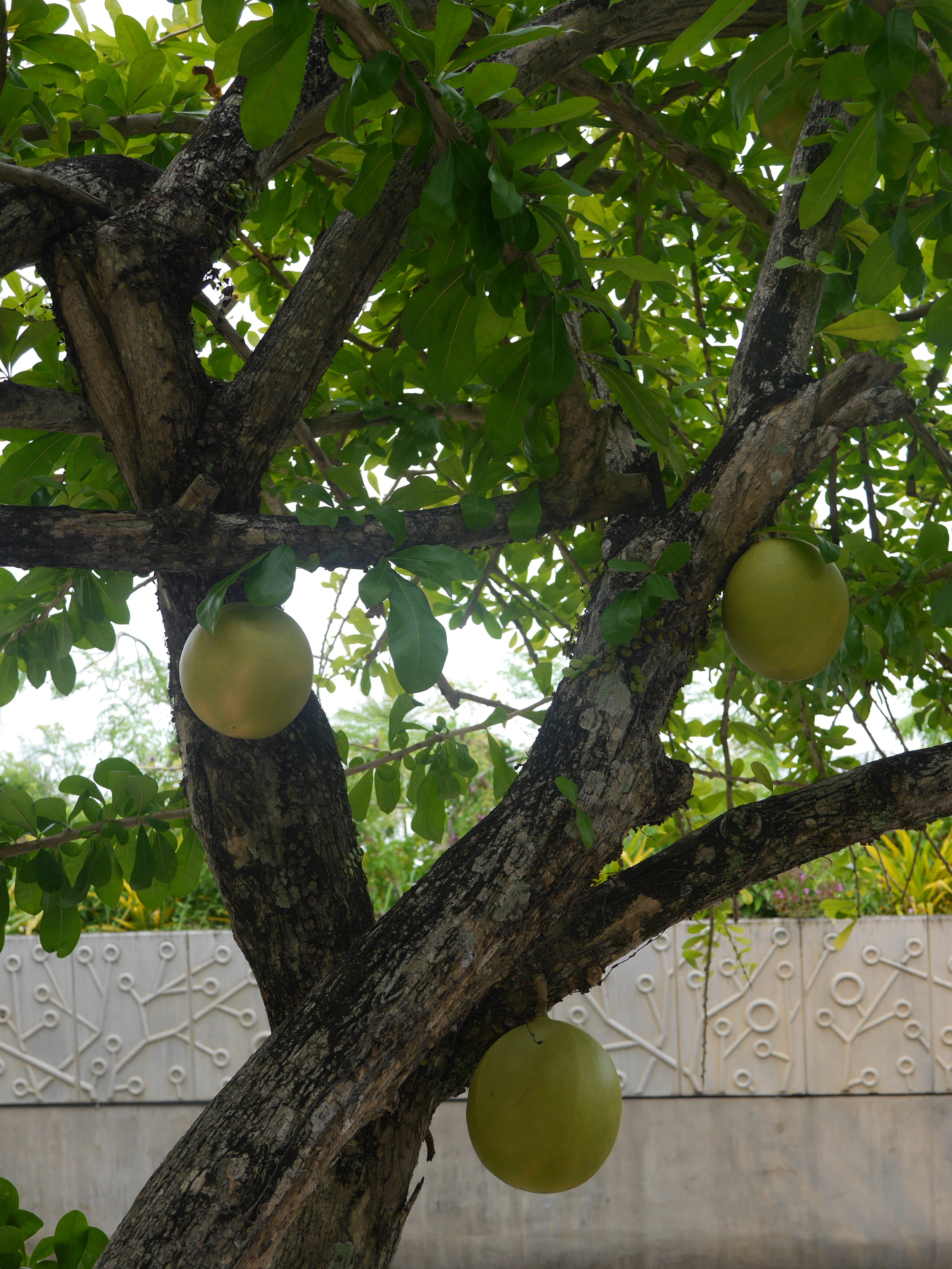 A calabash tree (not to be confused with the vine, which produces the fruit one might be familiar with). The way the fruit grows off the trunk and branches reminded me of cacao, but it's not very closely related at all.