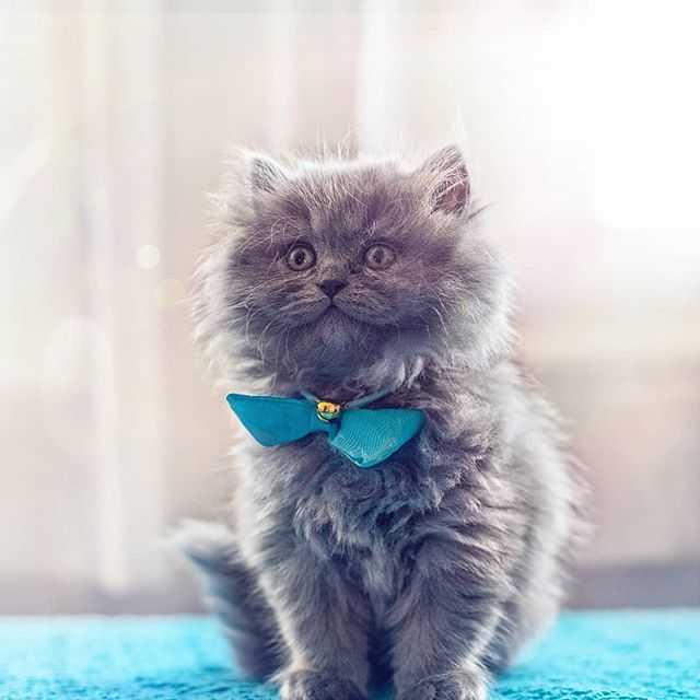 Meet little baby Blue, the newest member of my family 💙 He's a two months old ball of fluffy cuteness, that's been filling my heart with love and giggles the past few days. ❤😍 Expect lots of cute kitty photos from now on 😊 And his name is actually Baby Blue now, and will be Blue when he grows up.