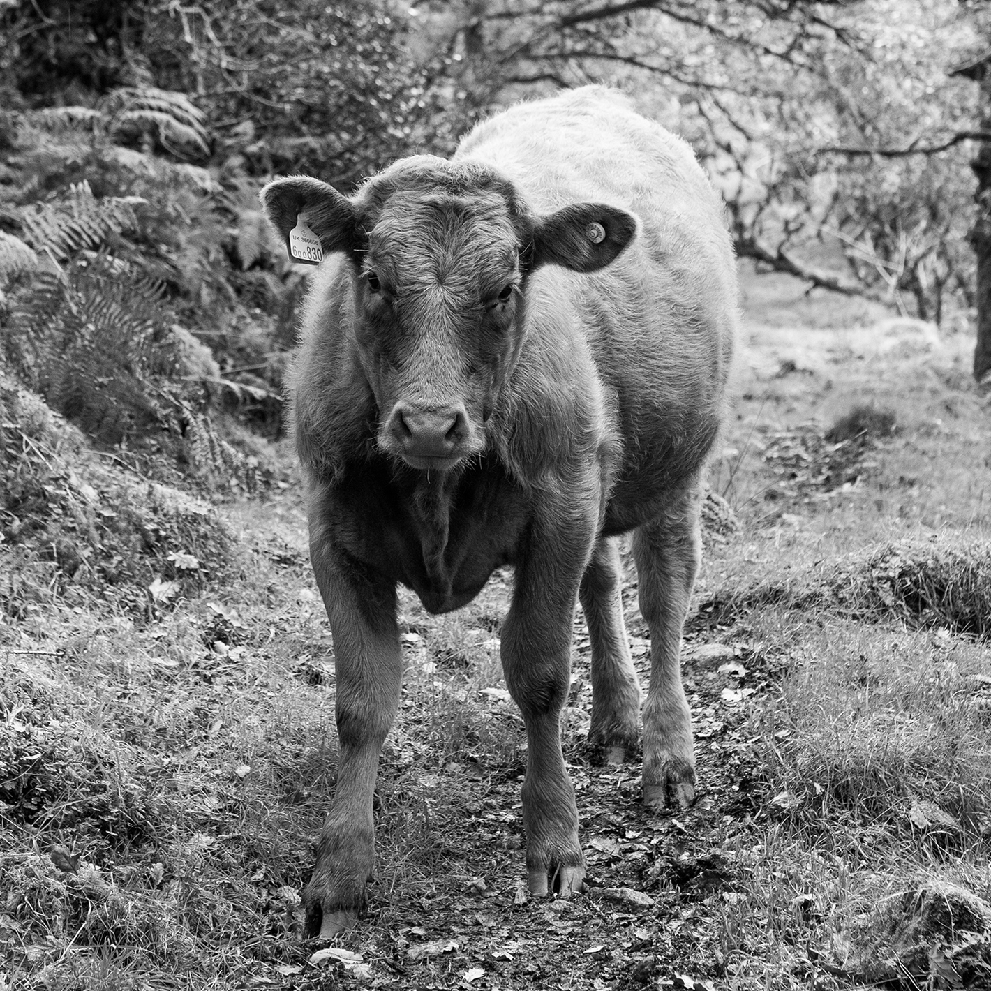 Calf on Path for Homepage square.jpg