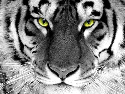 great-tiger