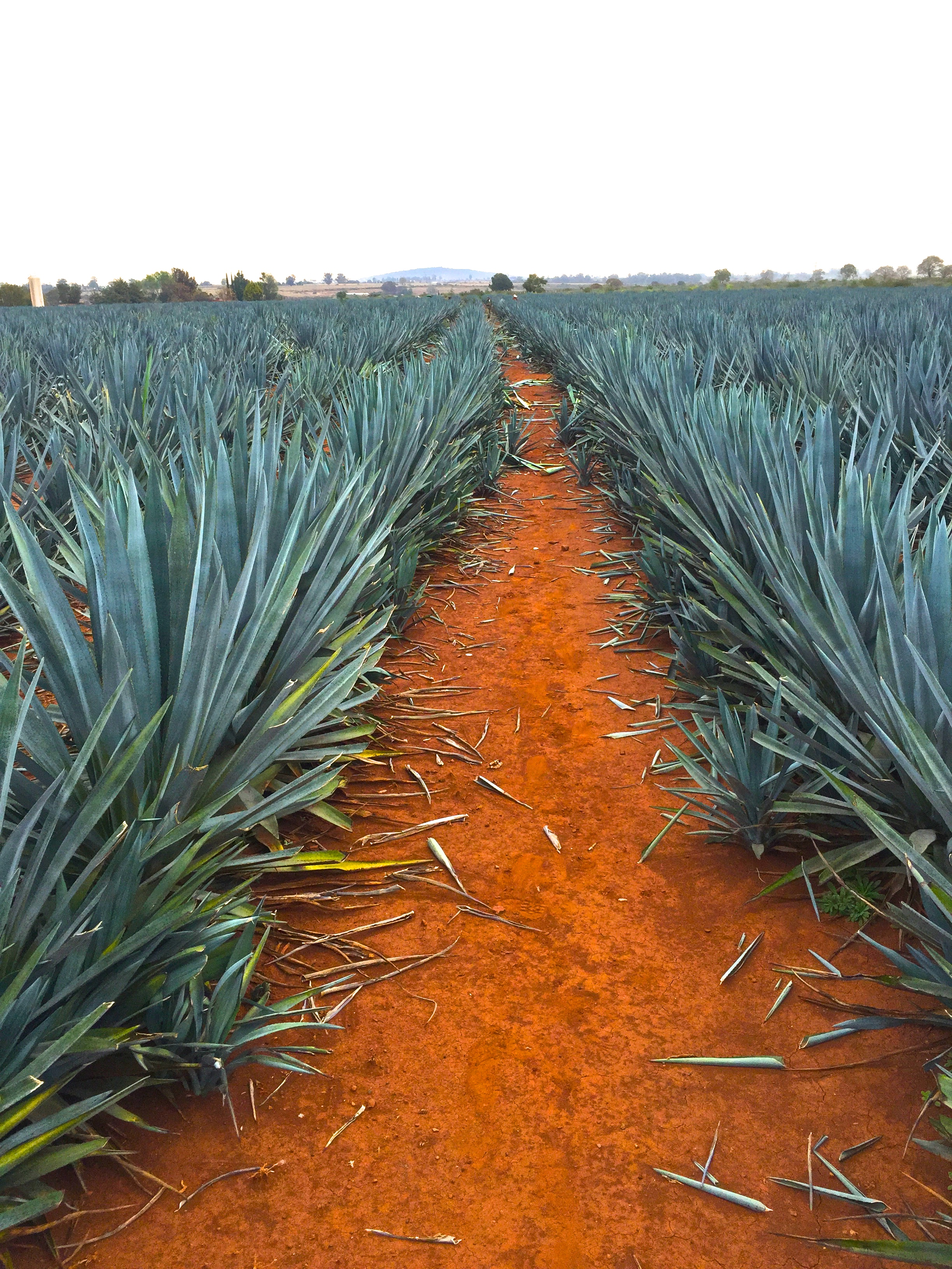 They're called Blue Agave for a reason...