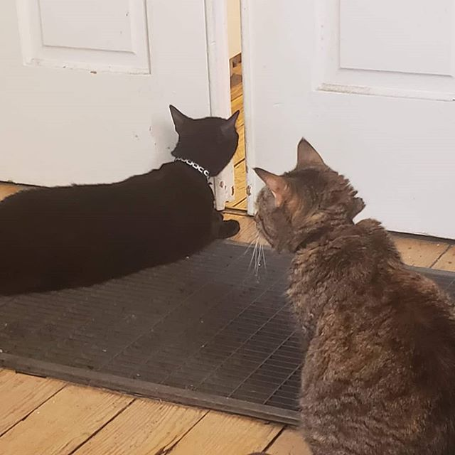 They're quite curious about the new friend... We've left the door open just a crack so they can see and sniff each other, and hopefully become friends.  #catsofinstagram #cats #housepanther #housecats #introduction