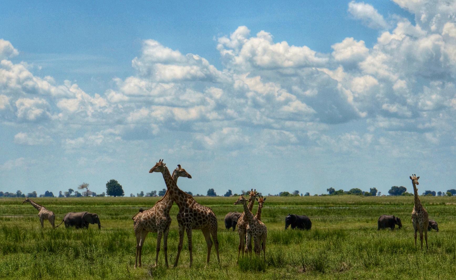 GiraffesChobe.JPG