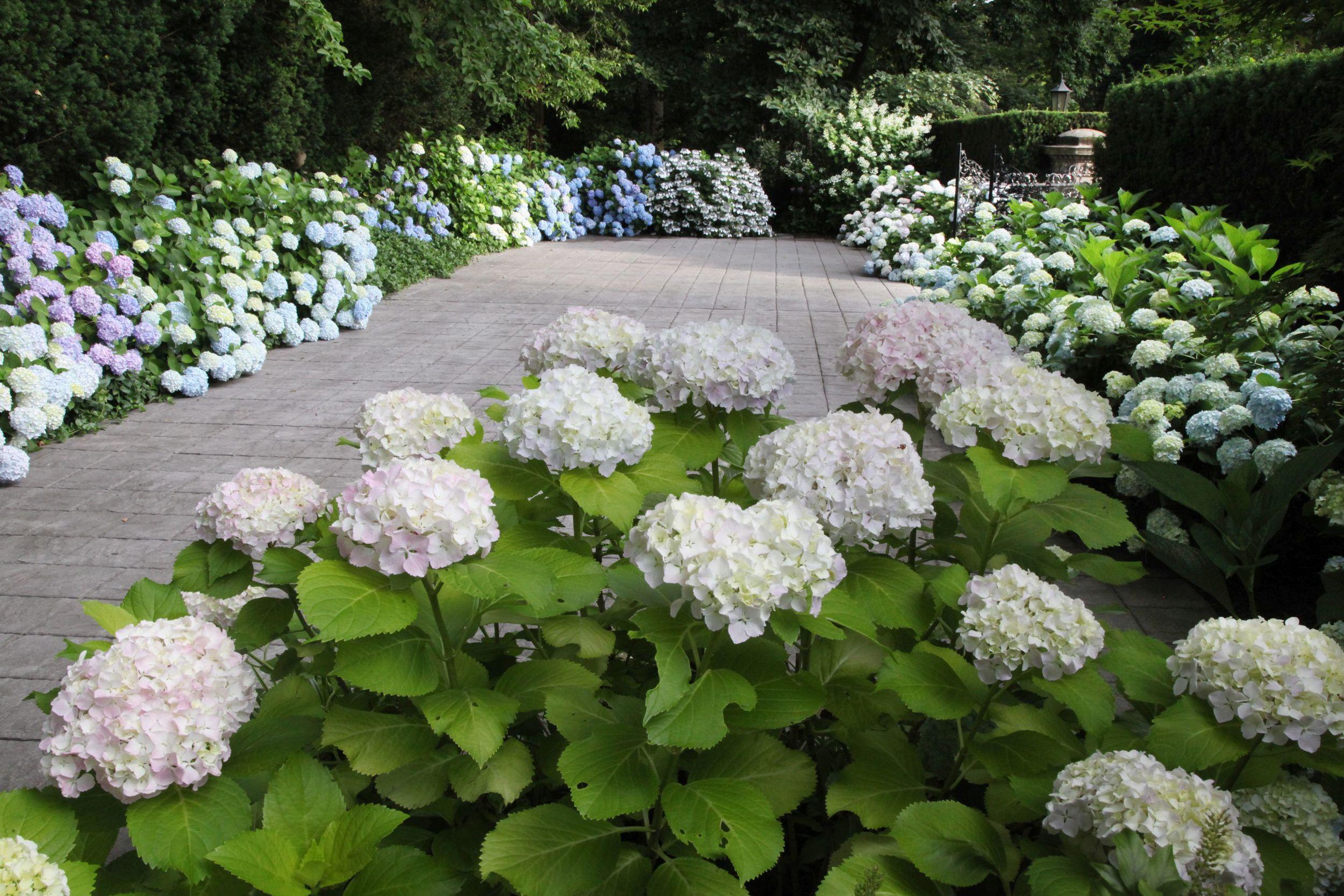 Hydrangea Garden VI.jpg