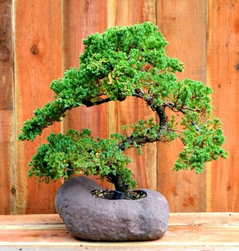 Introductory Bonsai Course Whitehall