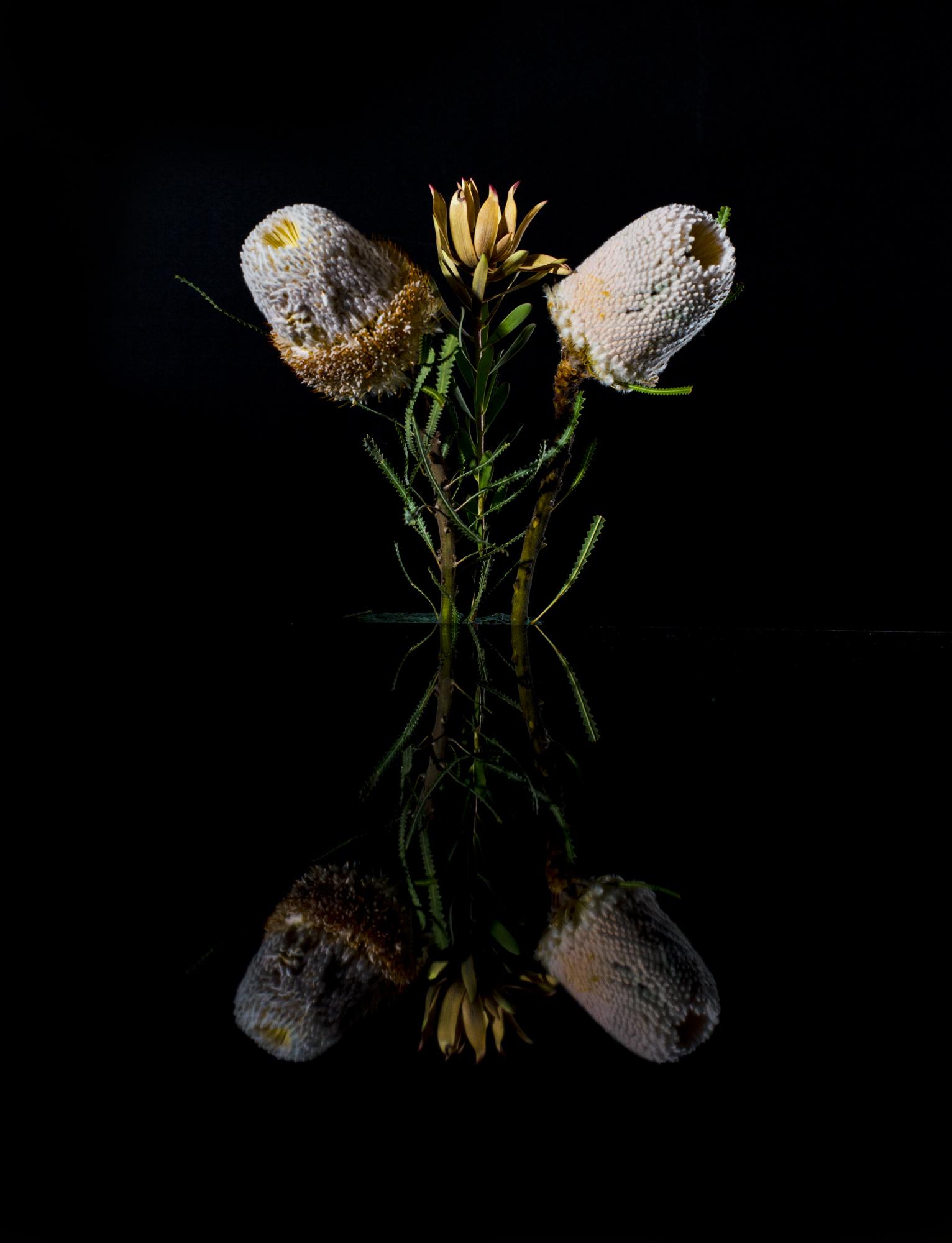 White Banksia