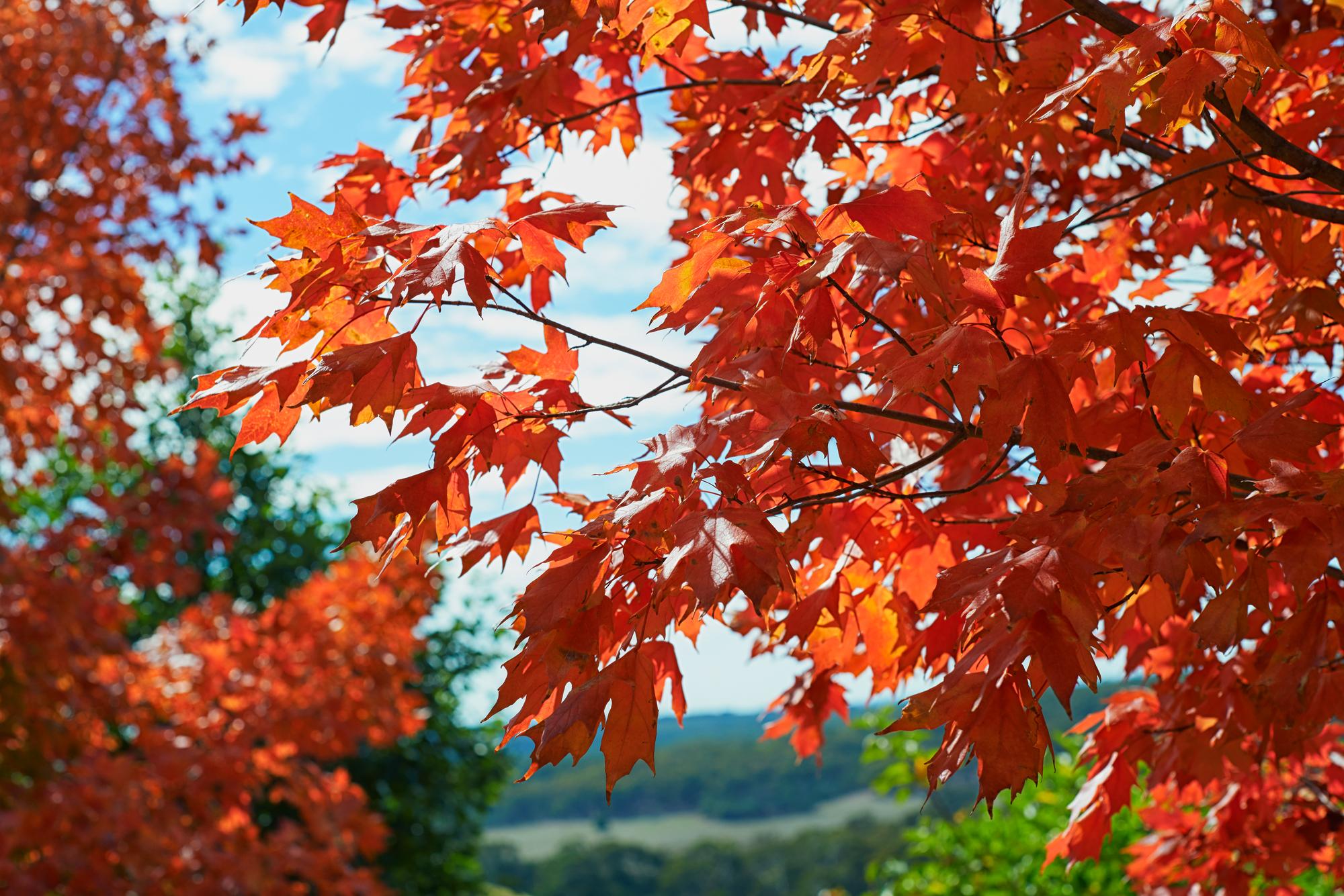 red-maple-leaves.jpg