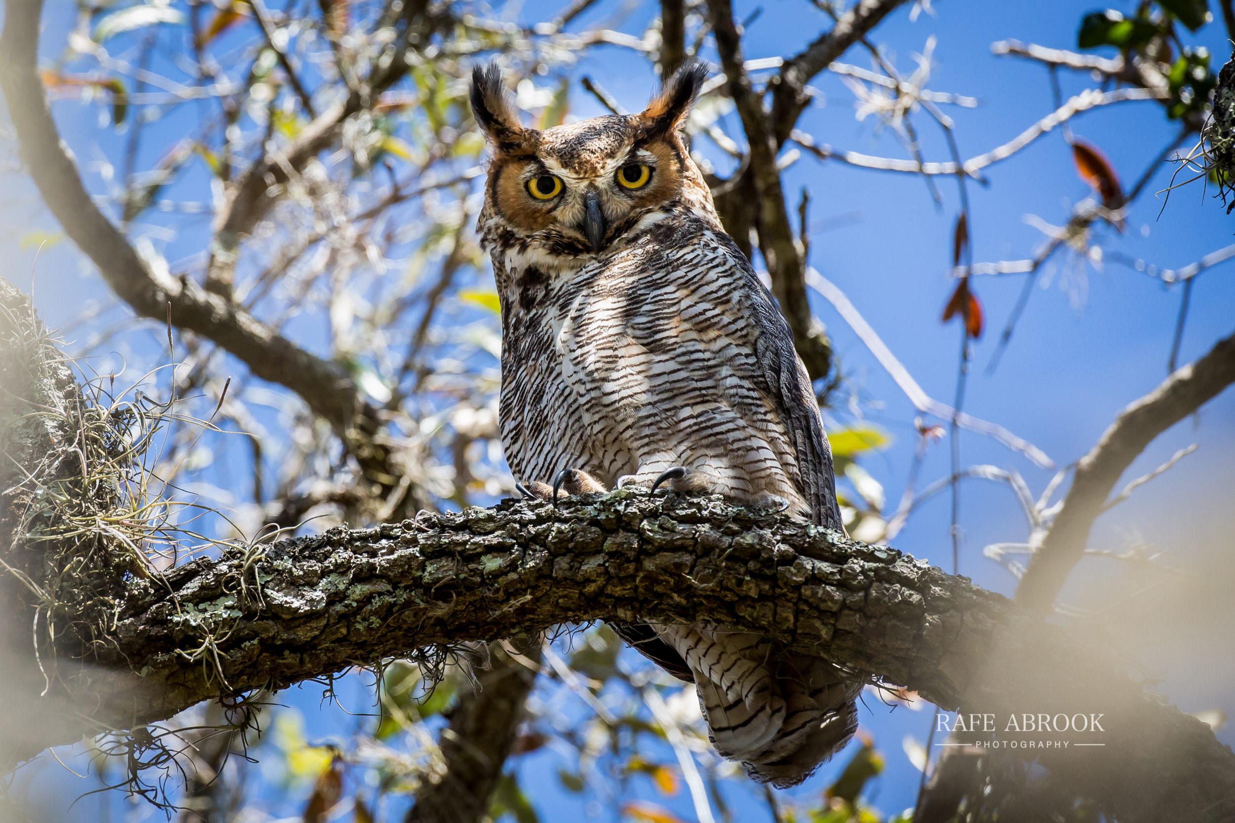 Great Horned Owl keeping tabs on us below
