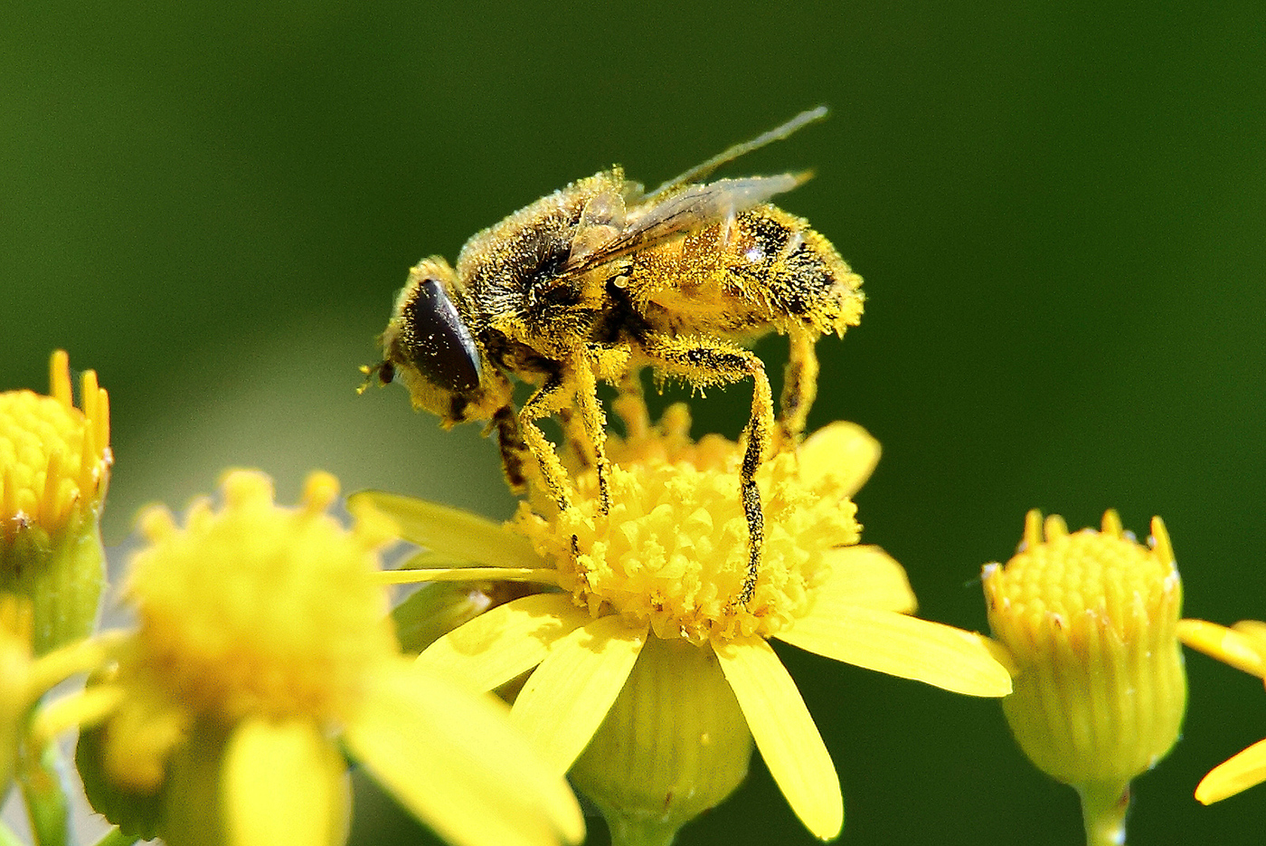 "Fun fact:   Pollen is not made from bees. ""Bee Pollen"" is simply the pollen that gathers on the bees legs mixed with its own saliva. Tasty. Image courtesy of www.whyfiles.org"