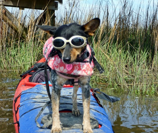 At Edisto Island in South Carolina, canines can go kayaking. Photo: Frank DiBona