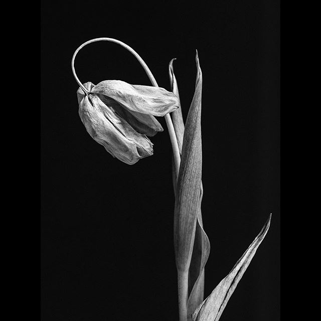 Tulip. Karlskrona, Sweden.  All things must come to an end. It only matters if we remember the beauty of it.